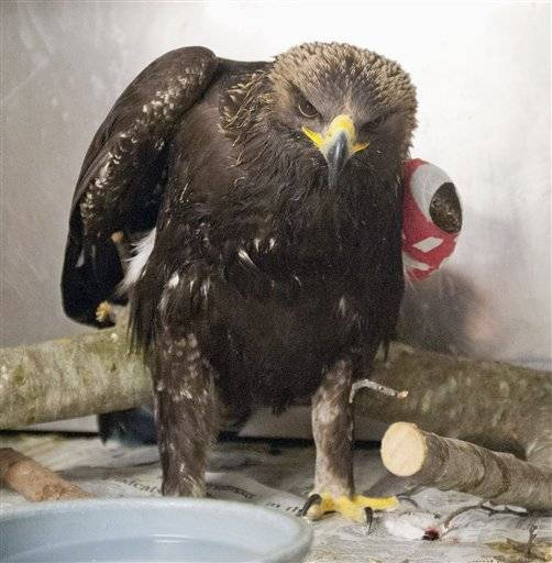 Experts at the University of Illinois Wildlife Medical Clinic are treating an injured golden eagle that appears to have lost its way.