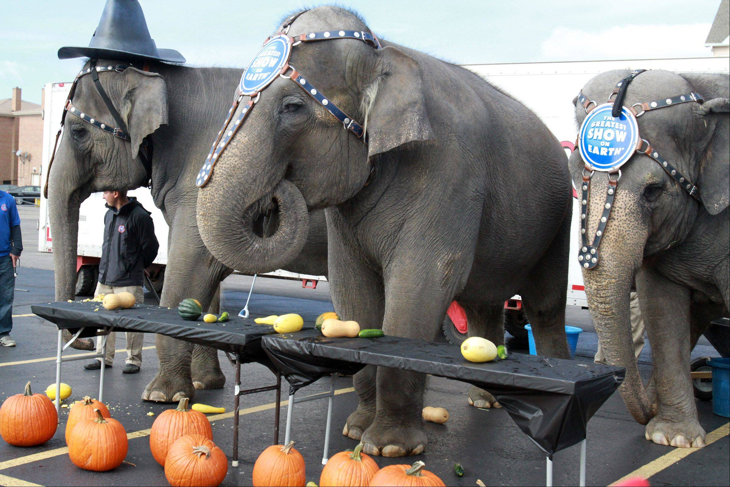 Ringling Brothers and Barnum & Bailey Circus elephant Kelly Ann, left, wearing a witch hat, and two other Asian elephants eat fall vegetables as part of their arrival Wednesday at the Allstate Arena in Rosemont. The circus will perform there Thursday through Nov. 11.