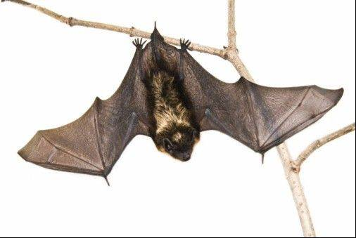 Lincoln Park Zoo is trying to learn more about bats in the Chicago area and is asking the public for help. There are eight known bat species in Illinois, but there is no precise tally for Chicago.