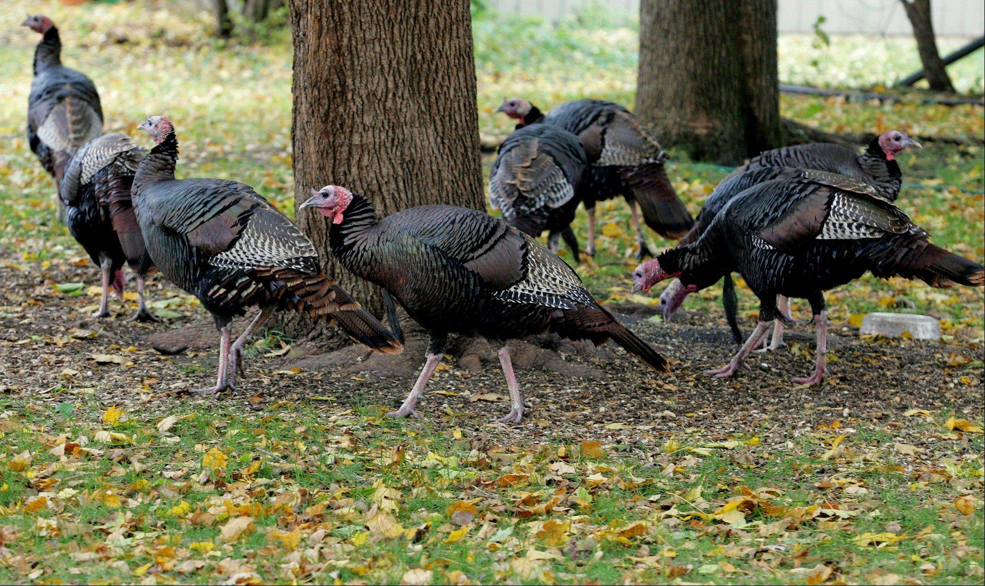 Wild turkeys forage for food in Rockford.