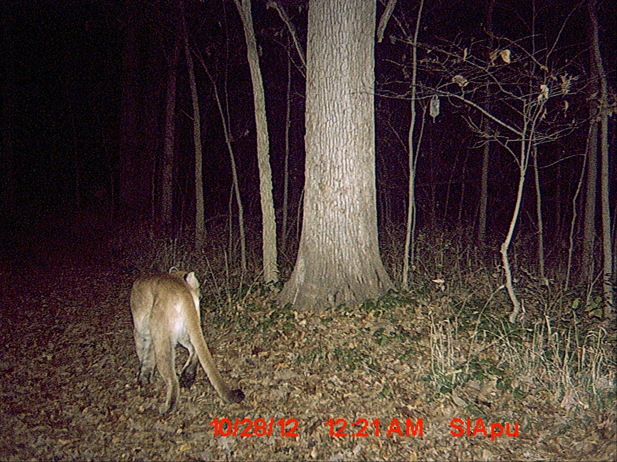 In this Sunday, Oct. 28, 2012 photo provided by Mark Cobb via The State Journal-Register, a photo of a cougar caught on a motion-sensitive trail camera is seen near Jacksonville, Ill. Cobb, of Sherman, Ill., captured the image in Morgan County and the Illinois Department of Natural Resources confirmed the authenticity of the photo Monday afternoon. The State Journal-Register reports that it's only the fourth confirmed sighting of a cougar since the cats were driven from Illinois in the 1870s.