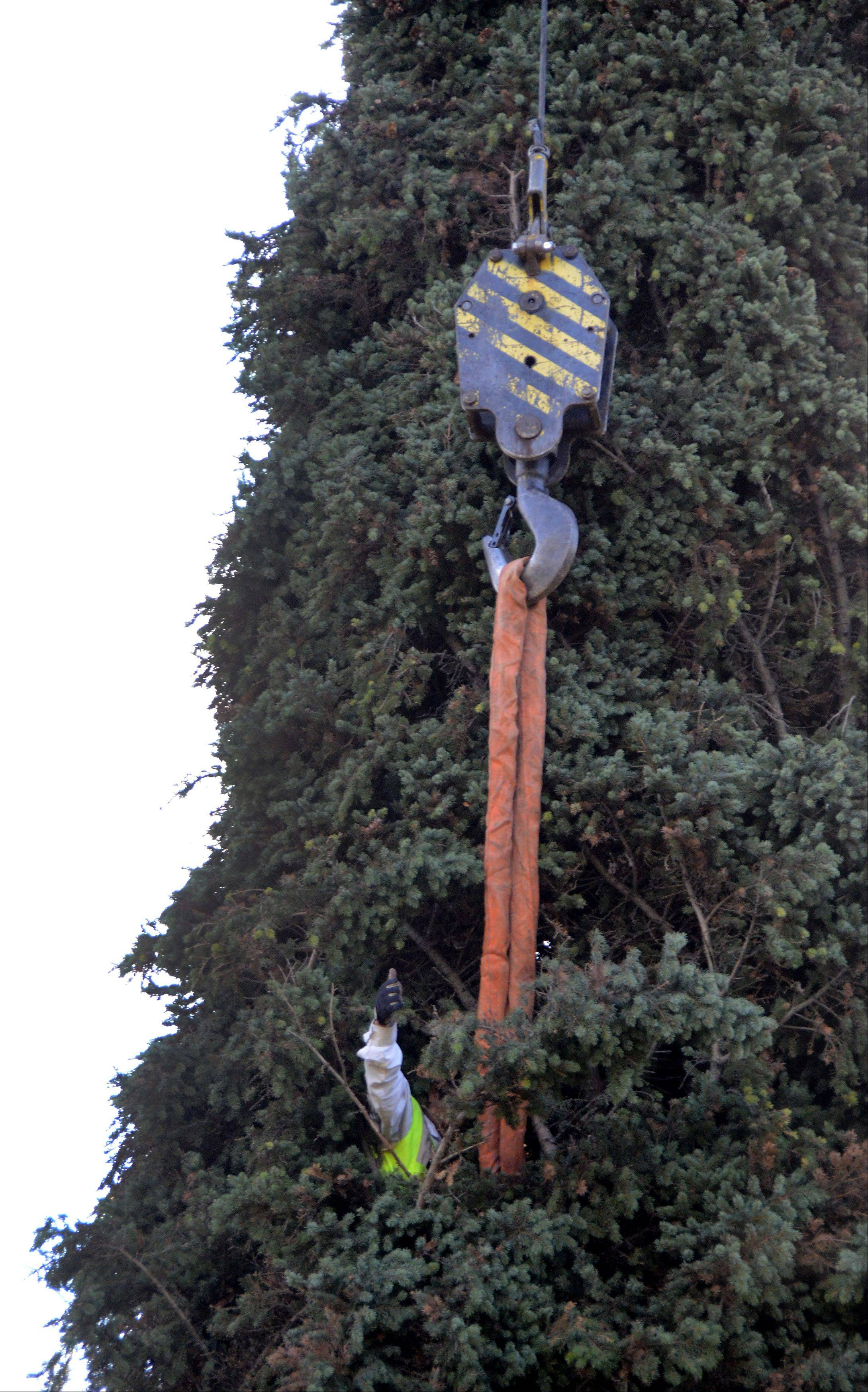 A worker signals go up to a crane operator as a 64-foot Colorado spruce tree is cut down Thursday morning at the Prospect Heights home of Barbara Theiszmann. The tree later was transported to Chicago, where it will serve as the city's official Christmas tree.