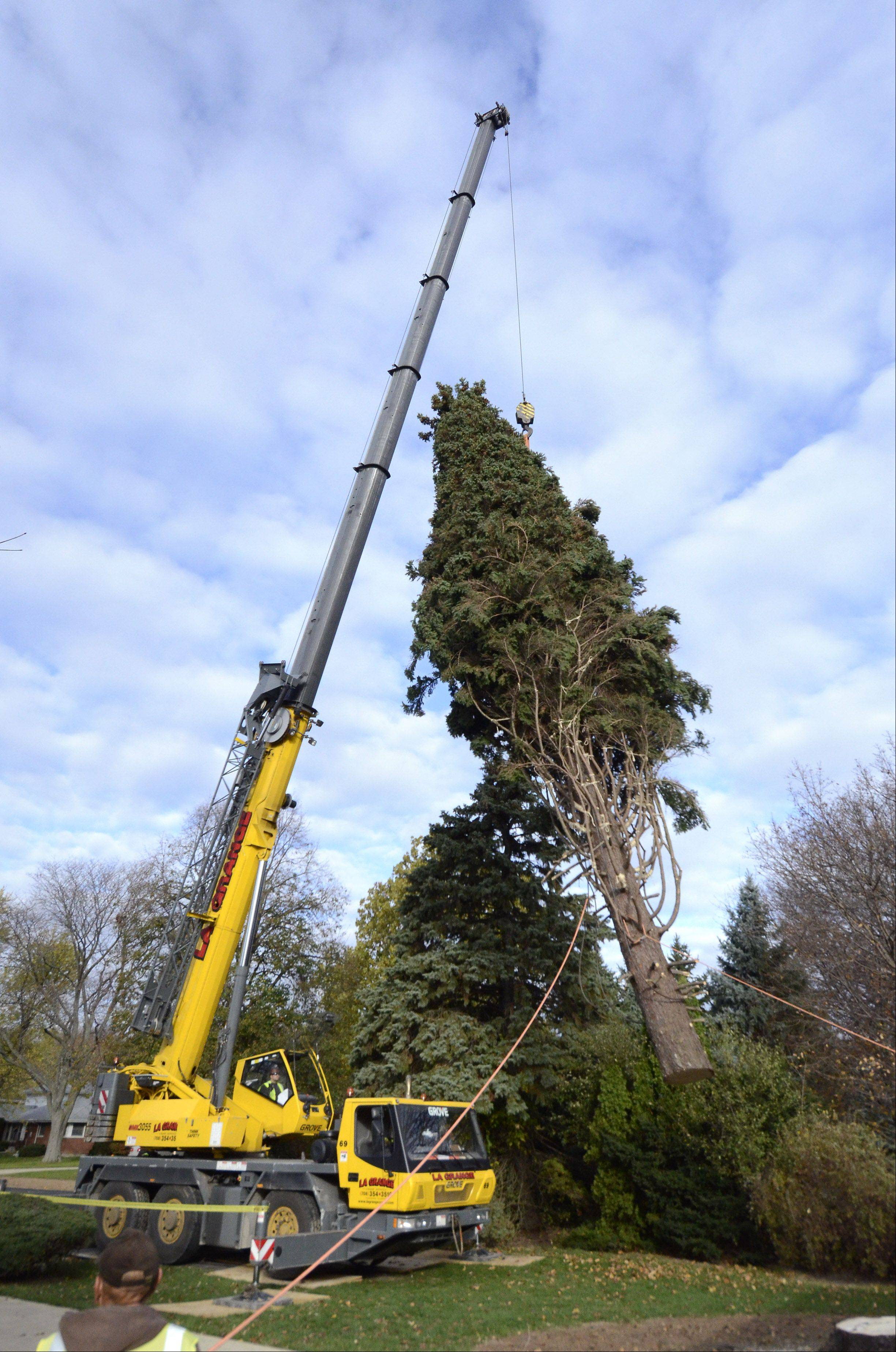 A 64-foot tall Colorado spruce tree selected to be the Christmas tree for Daley Plaza in Chicago is hoisted by a crane after being cut down Thursday morning at the Prospect Heights home of Barbara Theiszmann.