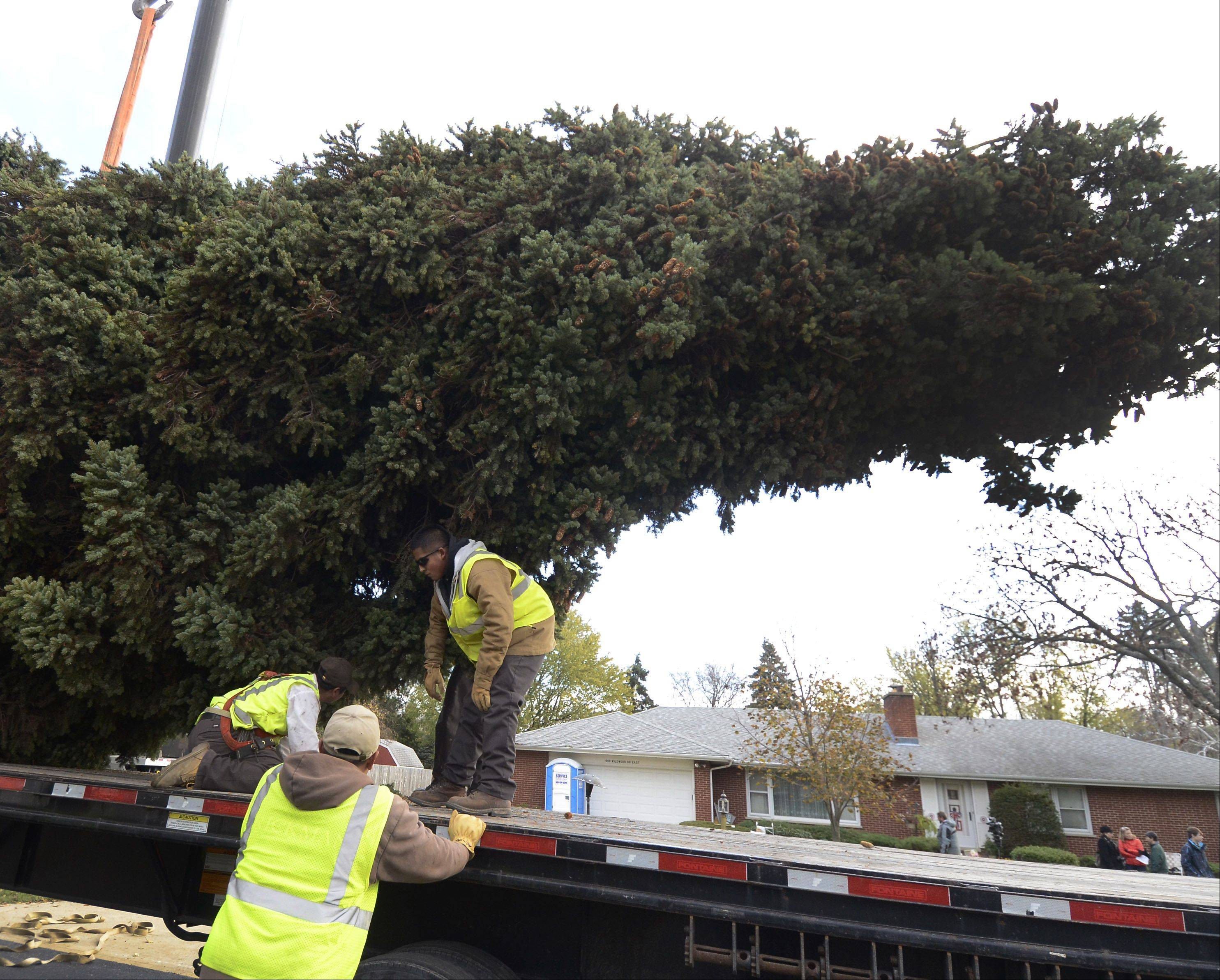 The 64-foot tall Colorado spruce tree selected to be the official Christmas tree for Daley Plaza in Chicago dwarfs workers as they secure it to a truck for the ride downtown.