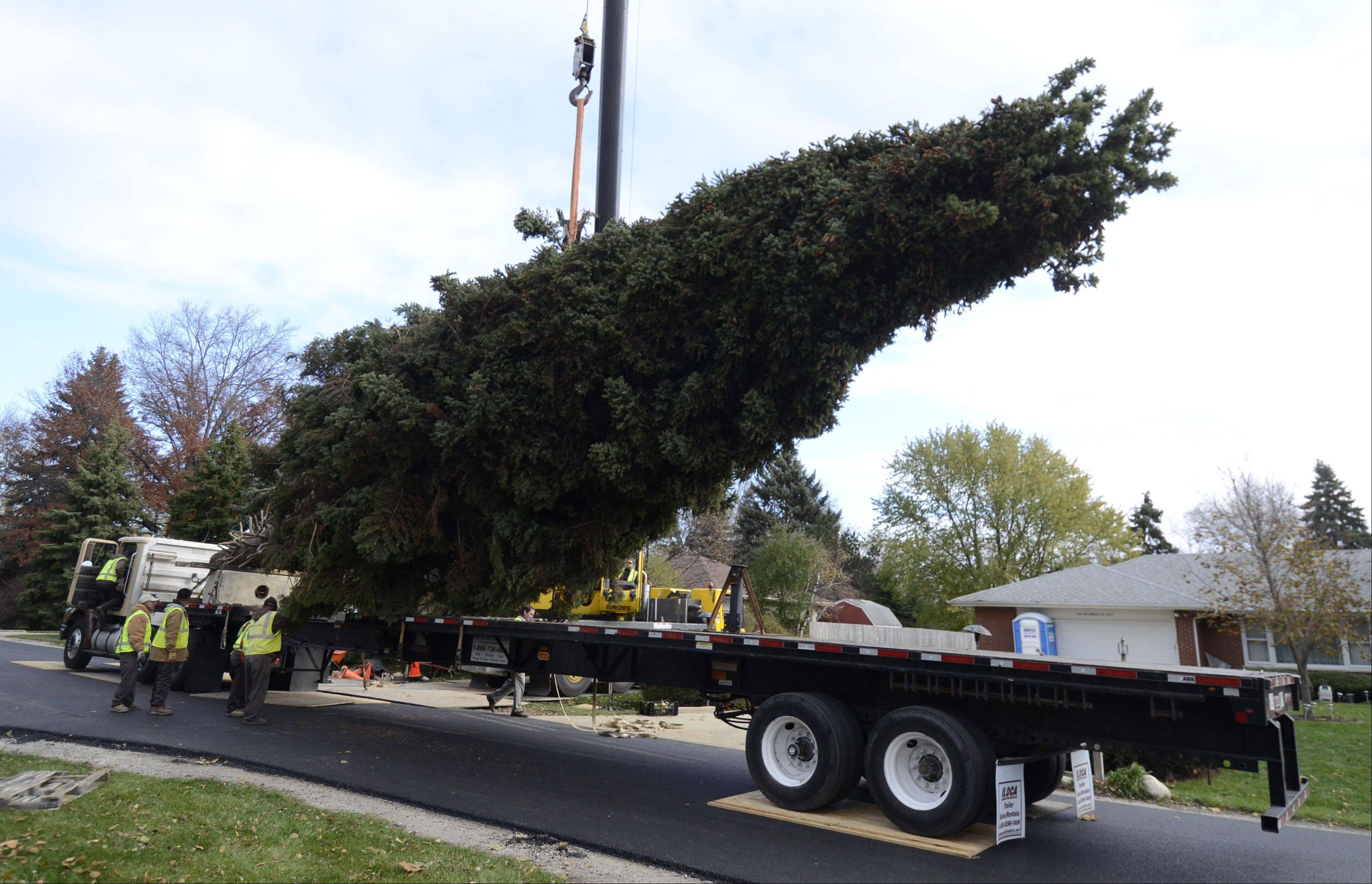 A 64-foot tall Colorado spruce tree is loaded on a flatbed trailer Thursday morning at the Prospect Heights home of Barbara Theiszmann. The tree will be placed in Chicago's Daley Plaza for Christmas.