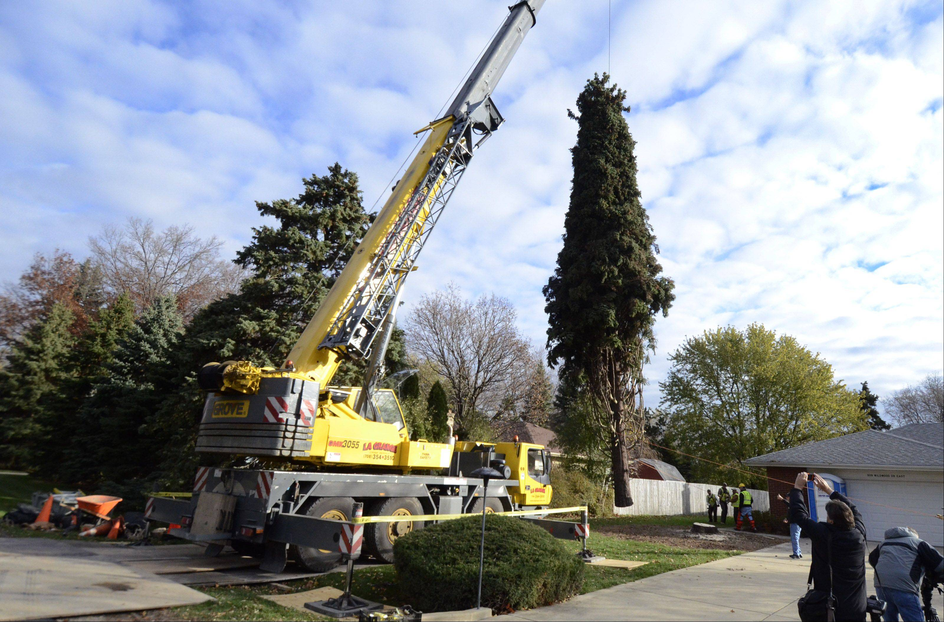 A 64-foot tall Colorado spruce tree selected to be the Christmas tree for Daly Plaza in Chicago is hoisted by a crane after being cut down Thursday morning at the Prospect Heights home of Barbara Theiszmann.
