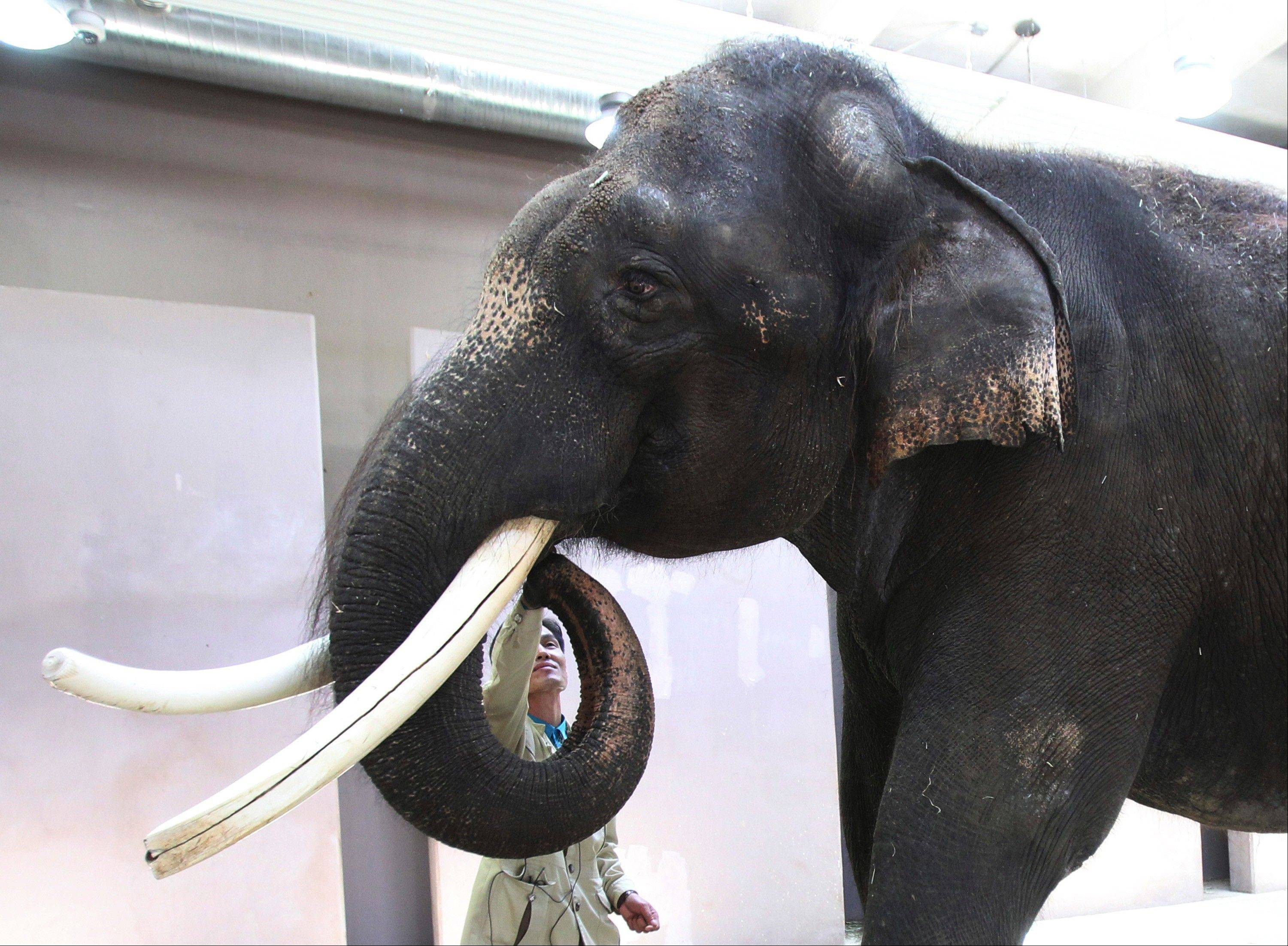 Chief trainer Kim Jong-gab touches the mouth of Koshik, a 22-year-old Asian elephant, at the Everland amusement park in Yongin, South Korea, Friday, Nov. 2, 2012. Koshik uses his trunk to pick up not only food but also human vocabulary. He can reproduce five Korean words by tucking his trunk inside his mouth to modulate sound.