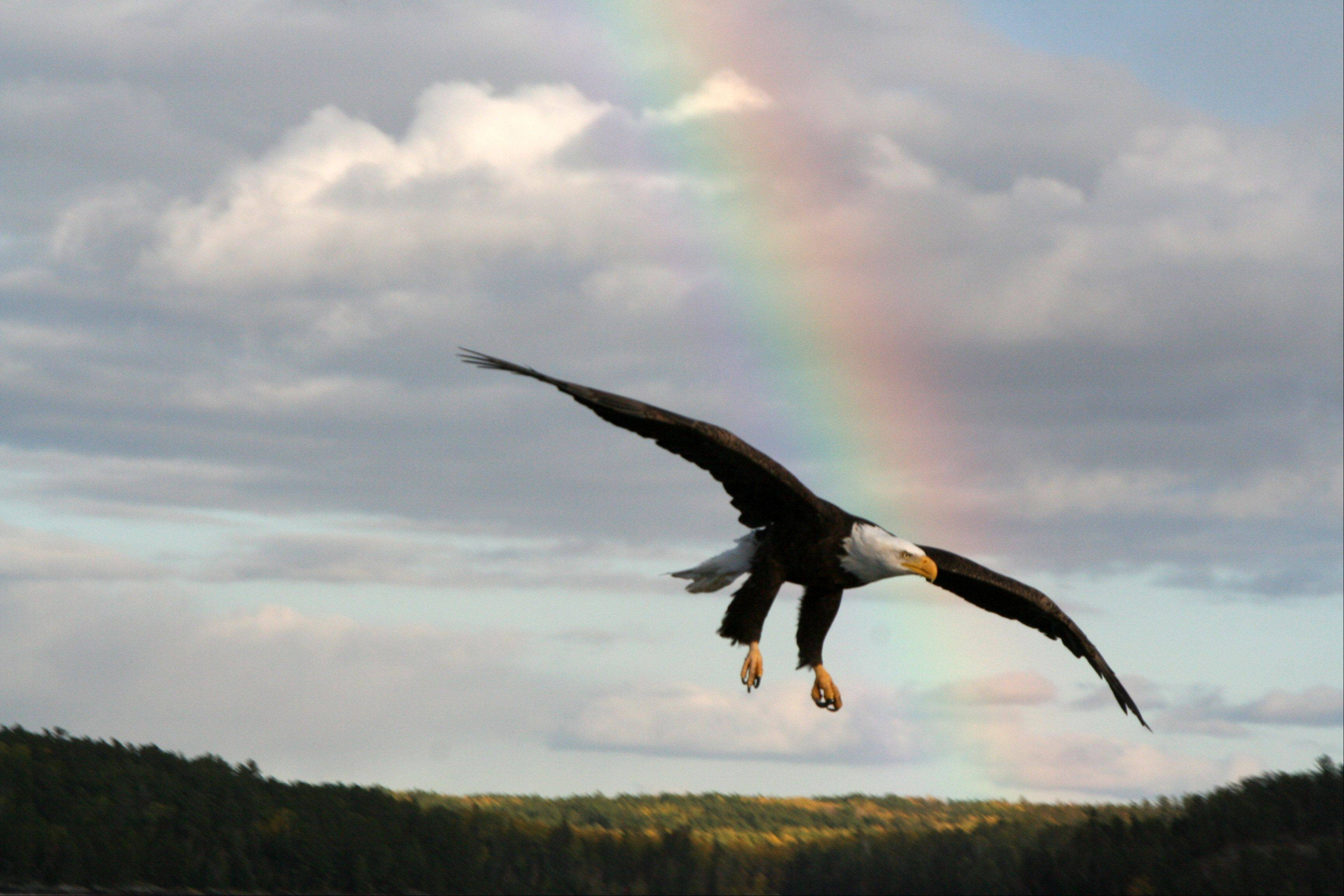 This photo of a bald eagle with rainbow in the background was taken in Lake of the Woods, Ontario, Canada. I took it while fishing on Lake of the Woods Lake. This area is near Nester Falls Ontario, Canada.