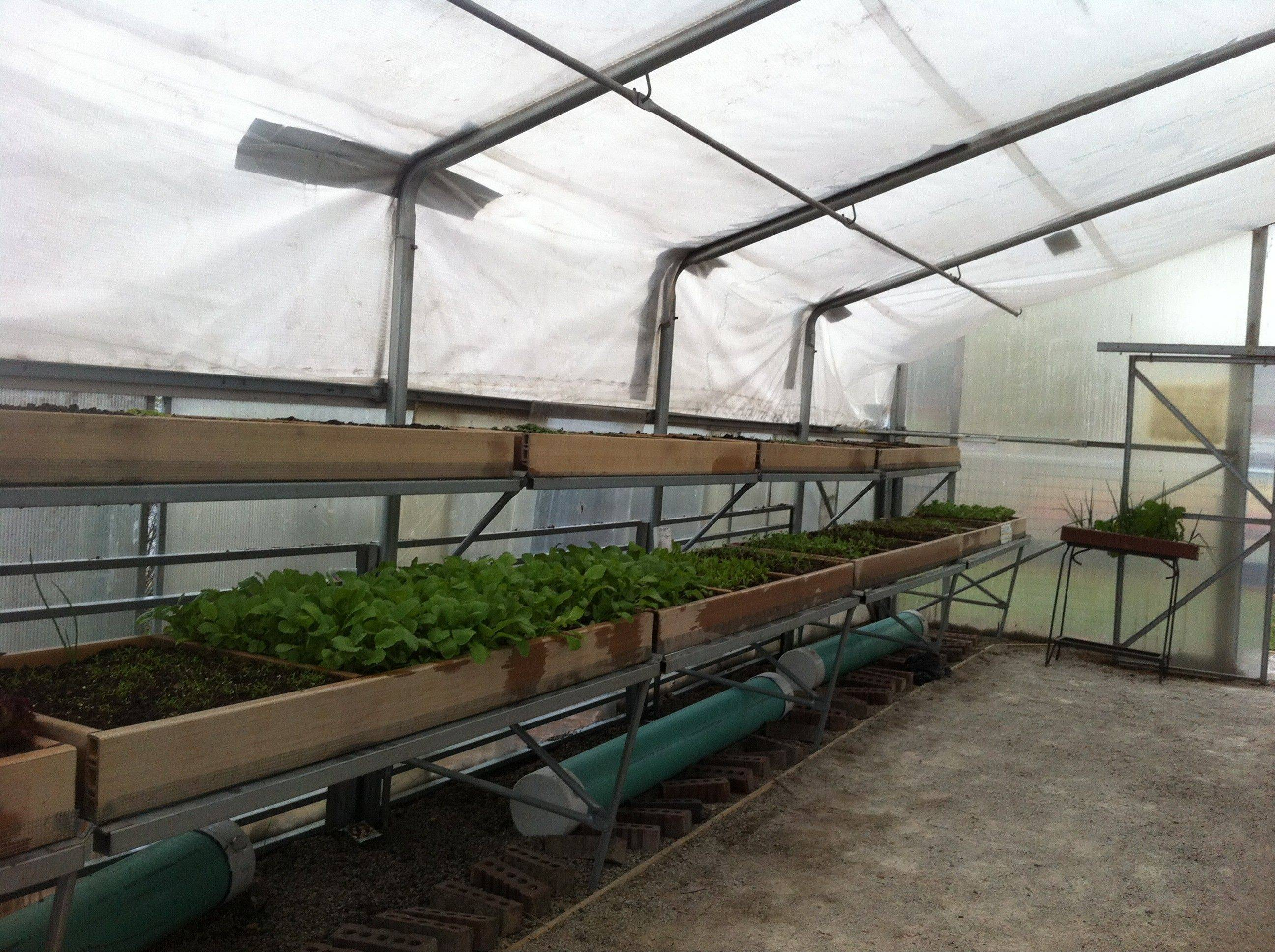 The Miner School Greenhouse is home to several types of lettuce and other vegetables, which will be donated to the Wheeling Food Pantry before the holidays.