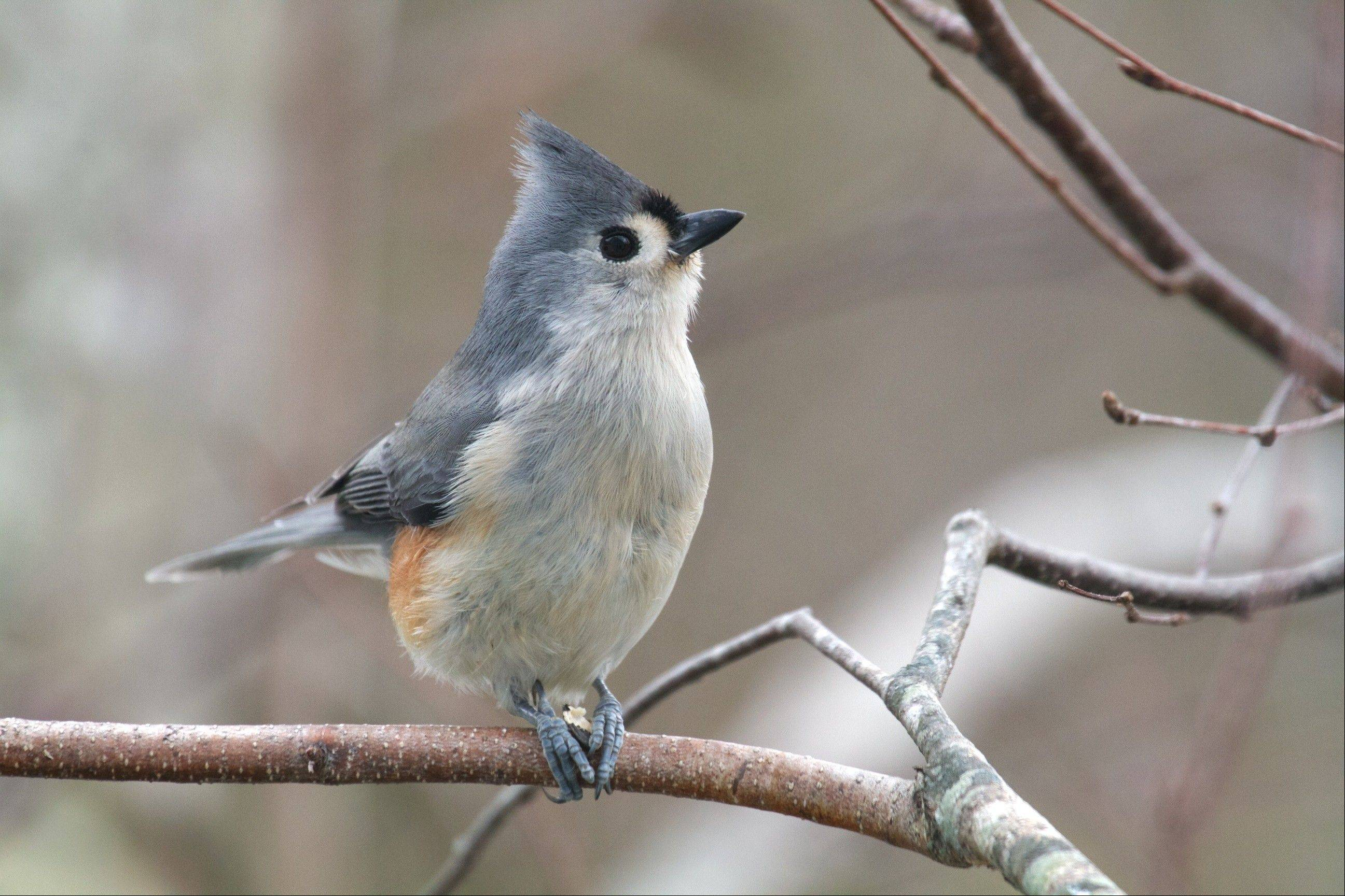 The tufted titmouse has a big-eyed look, black forehead and small crest. As shown in this photo, they hold seeds with their feet and crack them open with the bill.