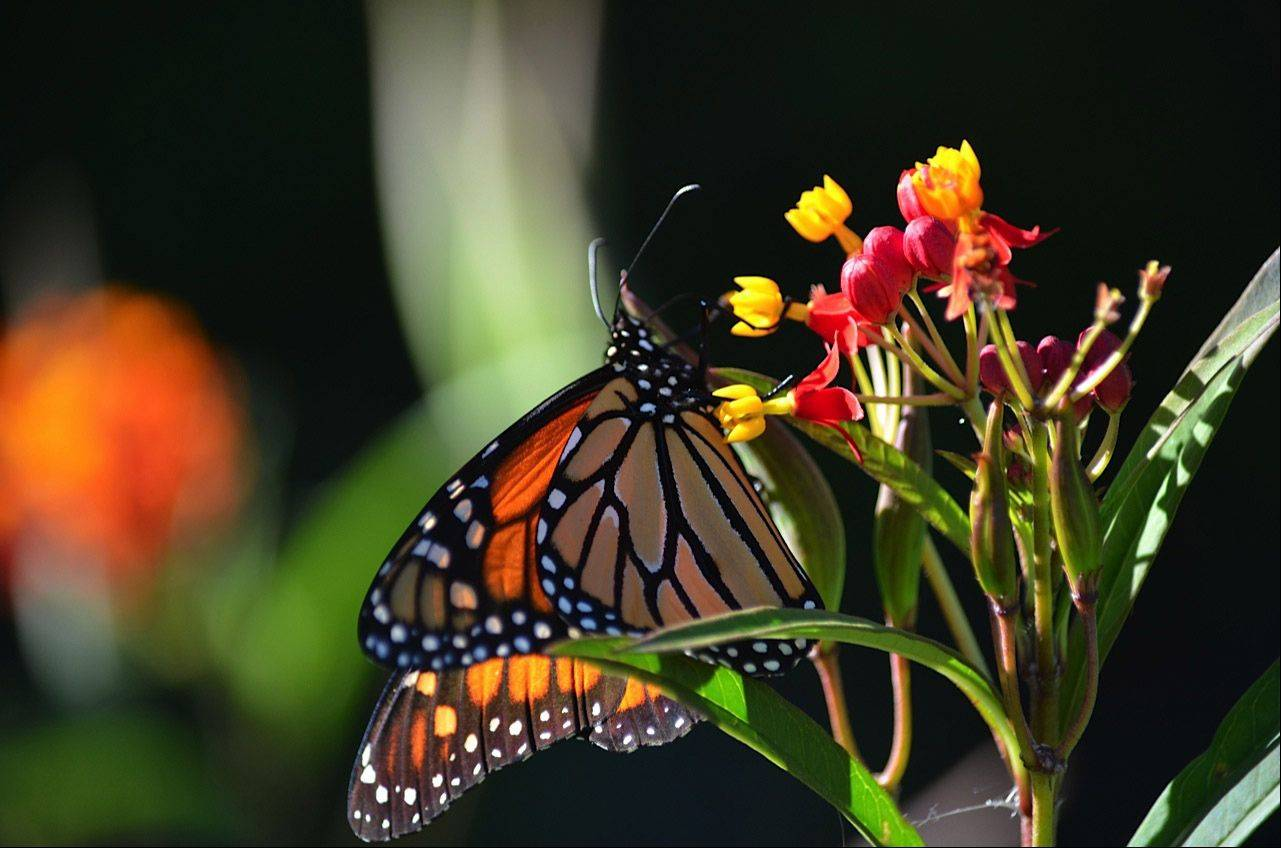 A butterfly rests on a flower at the Chicago Botanic Garden in Glencoe.