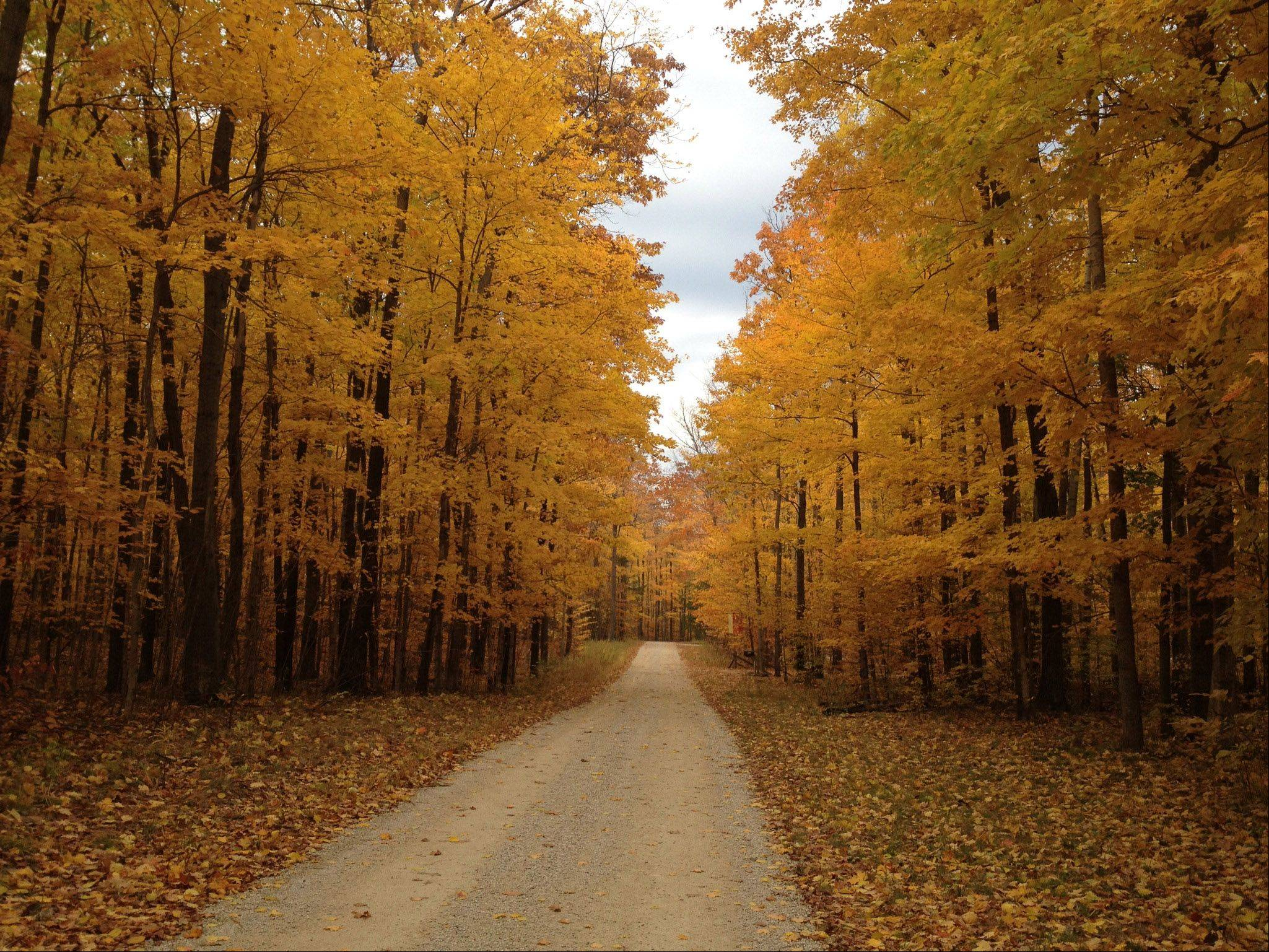 This fall picture of beech, maple, & birch trees in colors of orange, yellow, �& gold was taken on Birch Lane in Egg Harbor, WI.