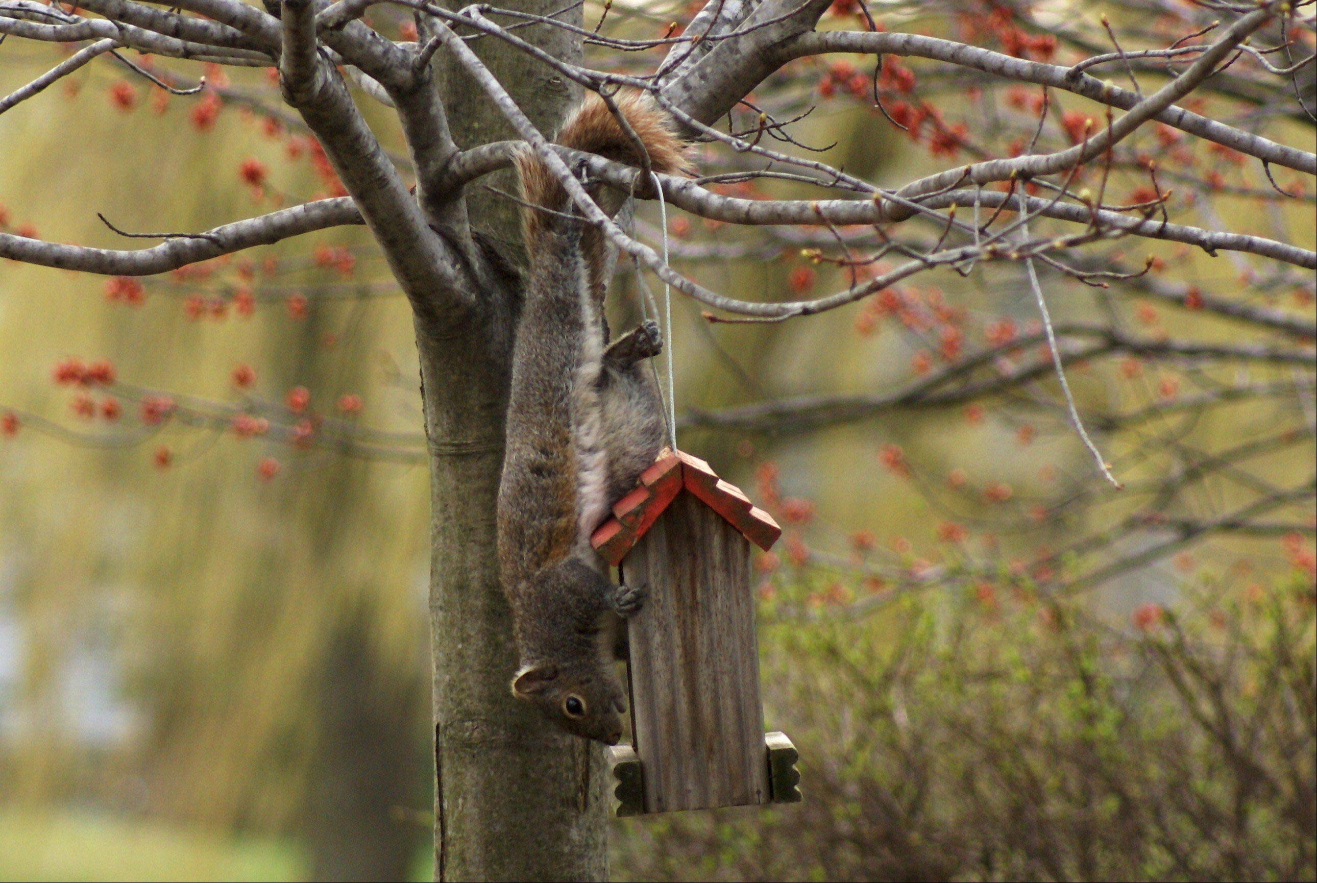 A squirrel tries to steal bird food from a feeder in a Buffalo Grove backyard.