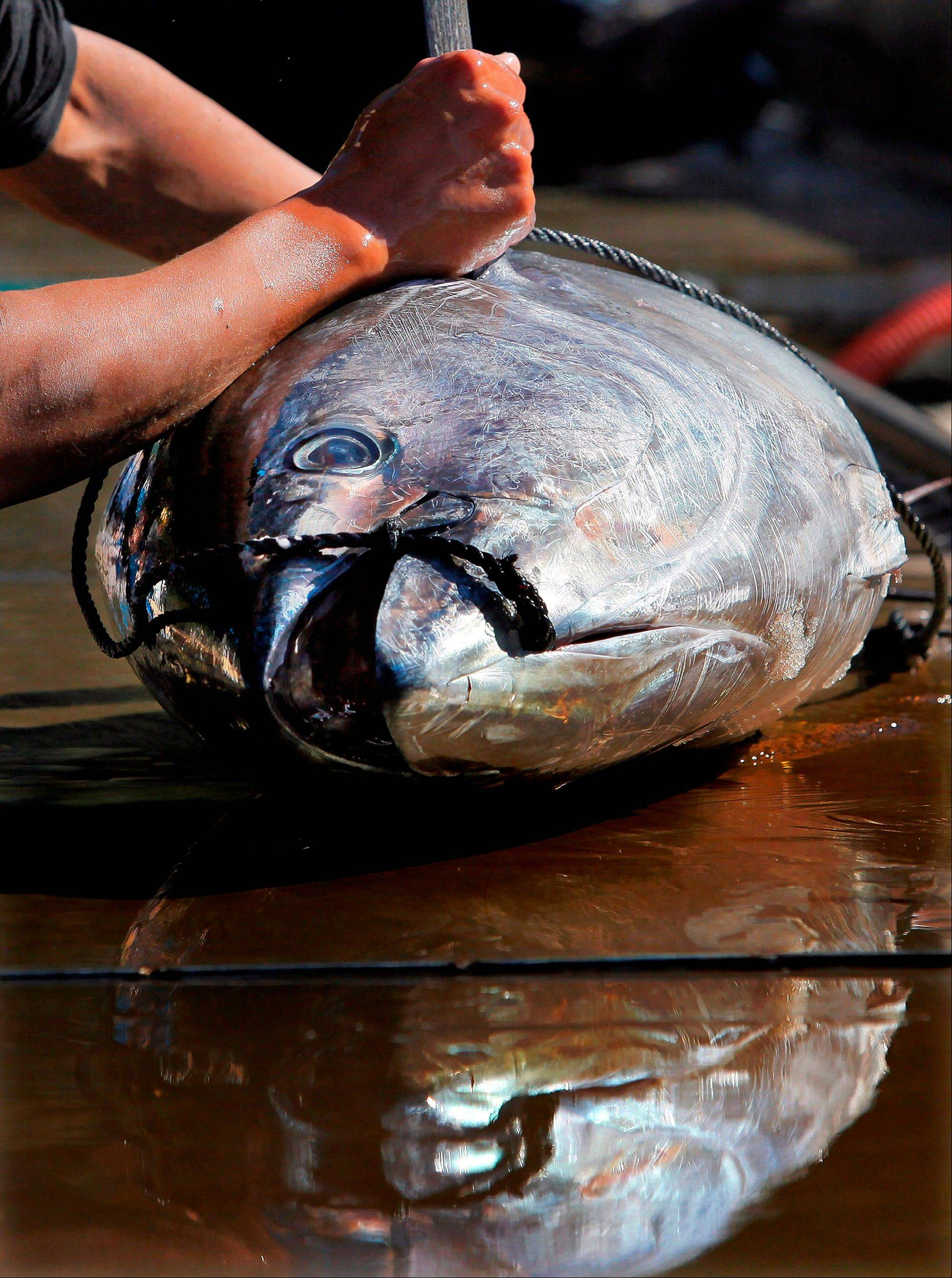 A worker measures a tuna at the Maruha Nichiro Holdings, Inc. tuna farm in Kumano, Japan.