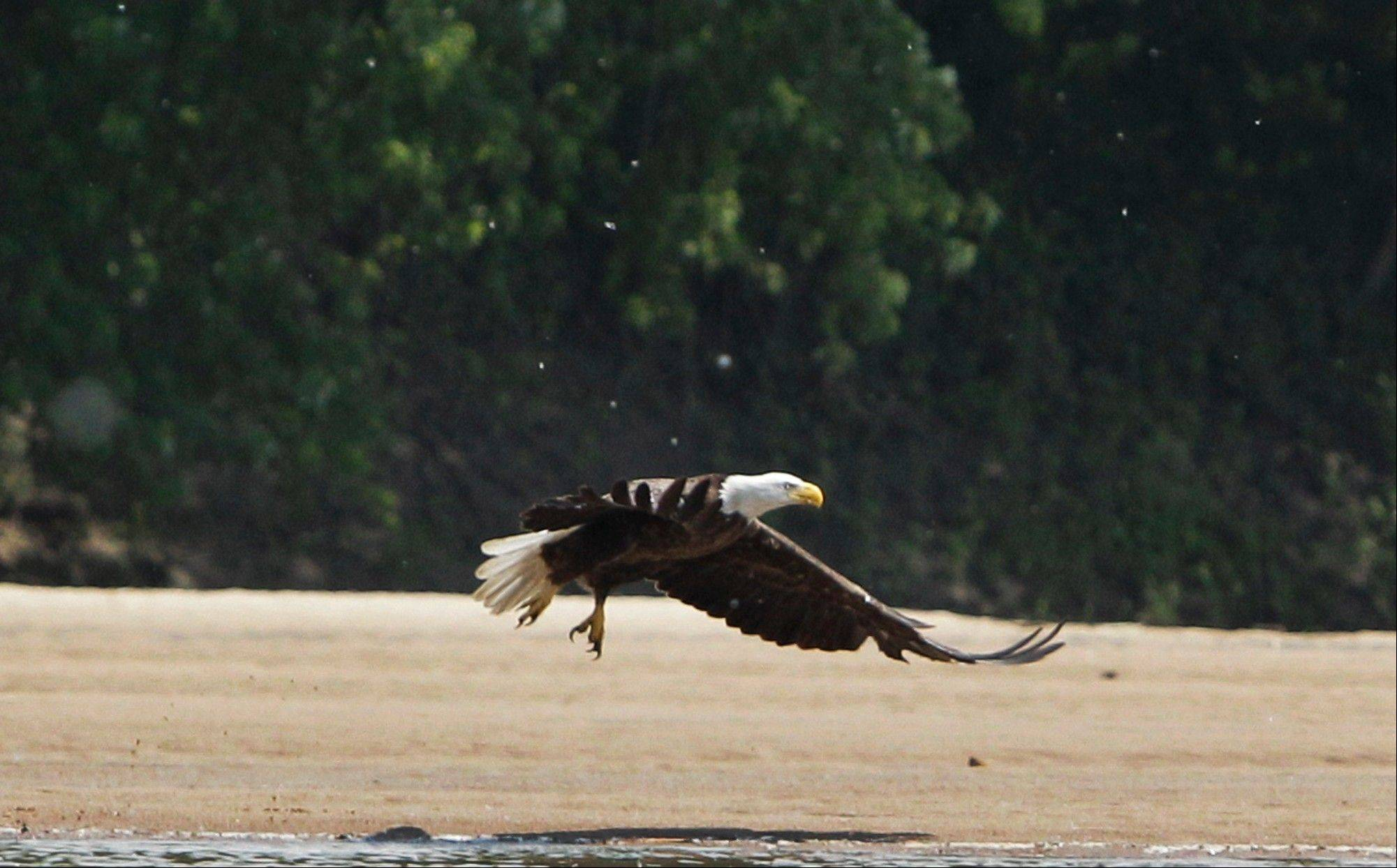 A bald eagle misses on a strike in the shallow waters next to a Kansas River sandbar near Lawrence, Kan. An environmental advocacy group called Friends of the Kaw has been working with communities over the past decade to add boat-launch areas and to take groups out on the river to see the wildlife that calls it home.