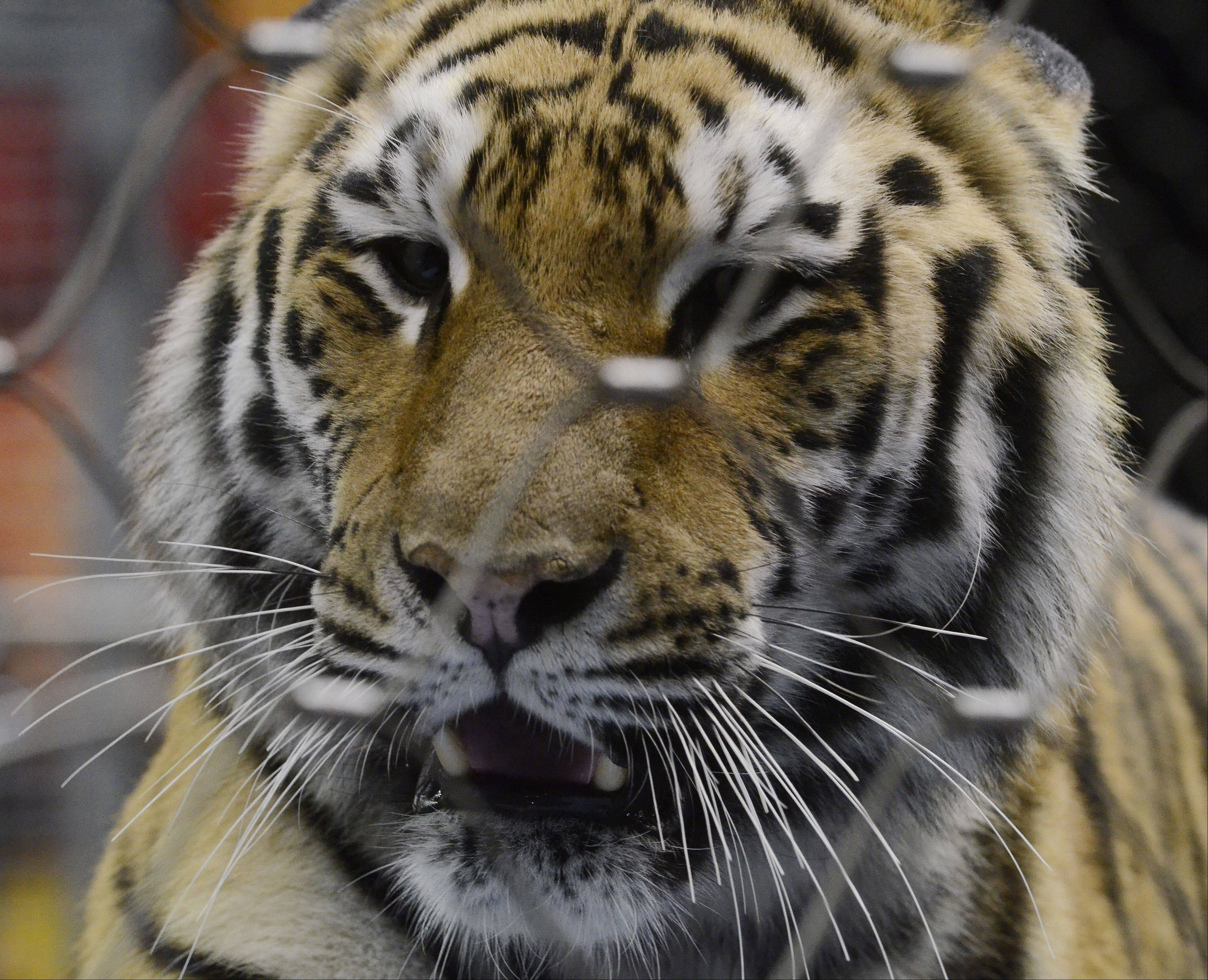 A Bengal tiger peers out into the audience during its rehearsal Friday in Rosemont.