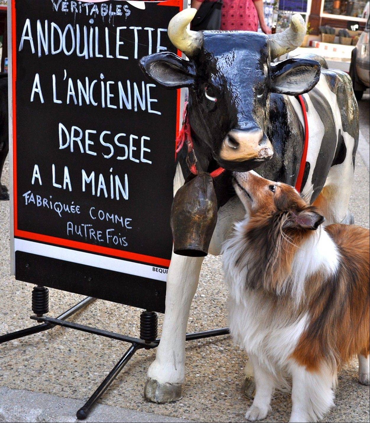 "In this May 2011 photo provided by Sheron Long, Chula, a 30-pound Shetland sheepdog and veteran traveler, noses a fake cow outside a butcher shop in the hilltop village of Sault, France. Travel for humans during holidays is tough enough: Long lines, crowds everywhere, extra bags full of presents. Throw a pet in the mix, and it's a recipe for disaster. Long is the author of ""Dog Trots Globe - To Paris and Provence."""
