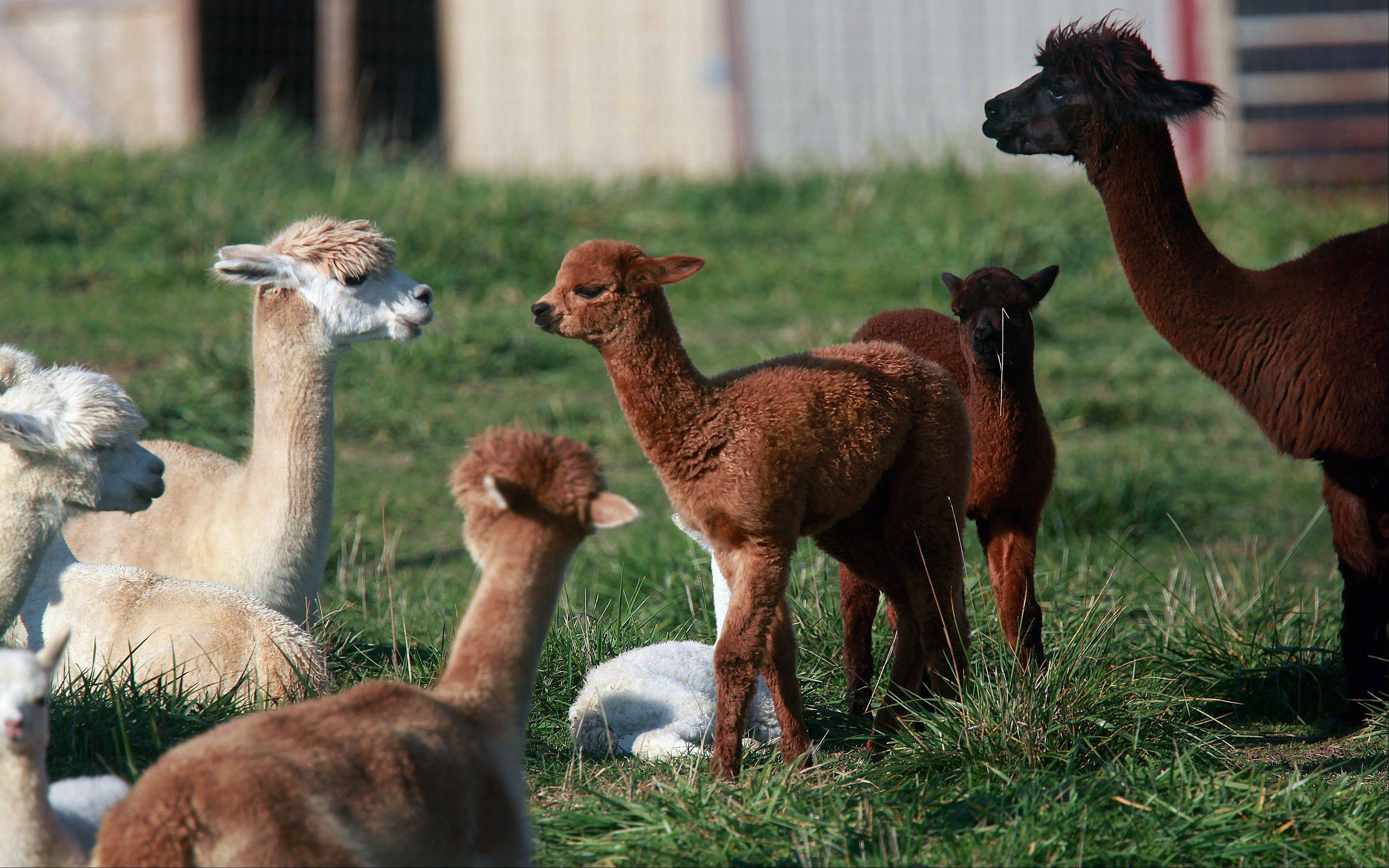 Associated Press  Alpacas stay close together within a fenced pasture at Alpacas of Indian Point Hills in Petersberg.