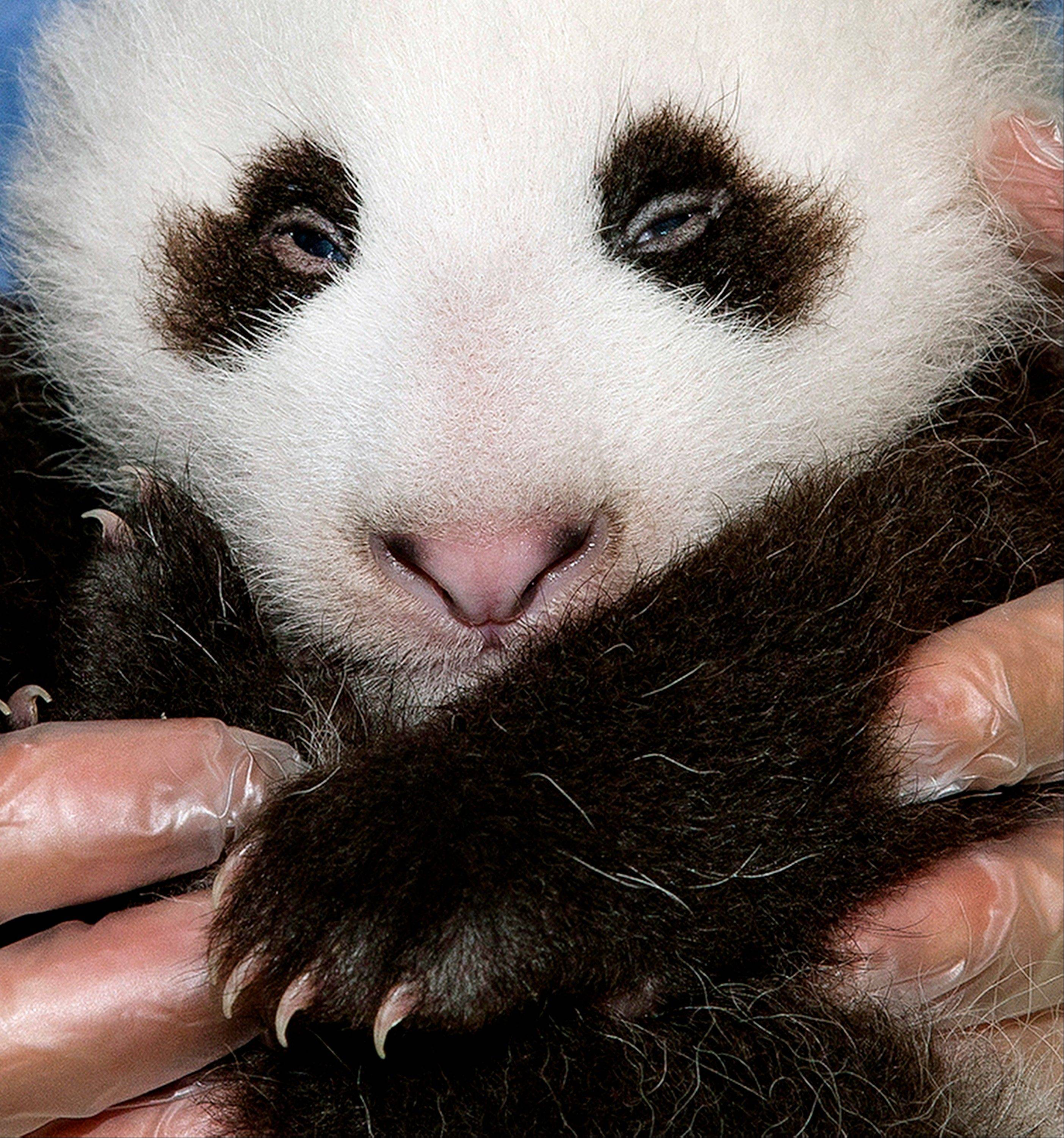The San Diego Zoo has announced its 15-week-old giant panda has been named Xiao Liwu, which means Little Gift. The name was selected by the public, which voted on the zoo's website.