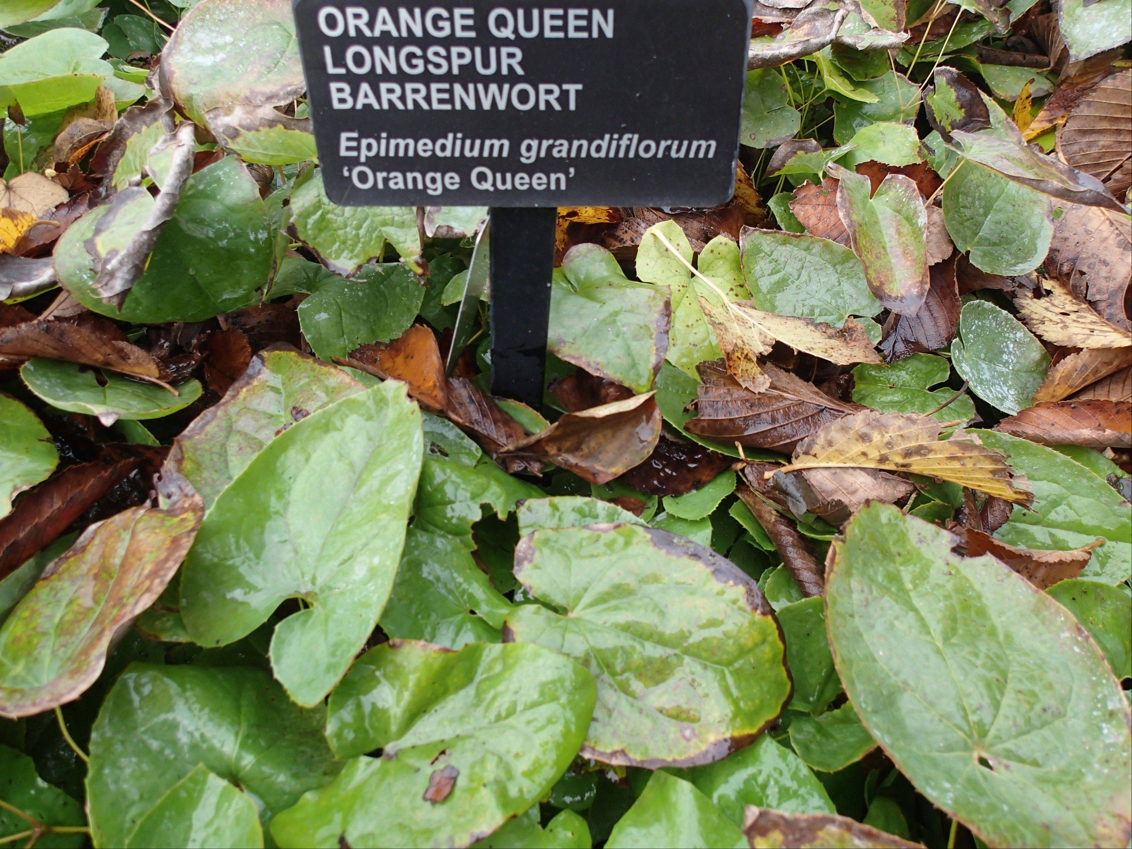 Epimedium, with heart-shaped leaves, is a groundcover that is drought-tolerant.