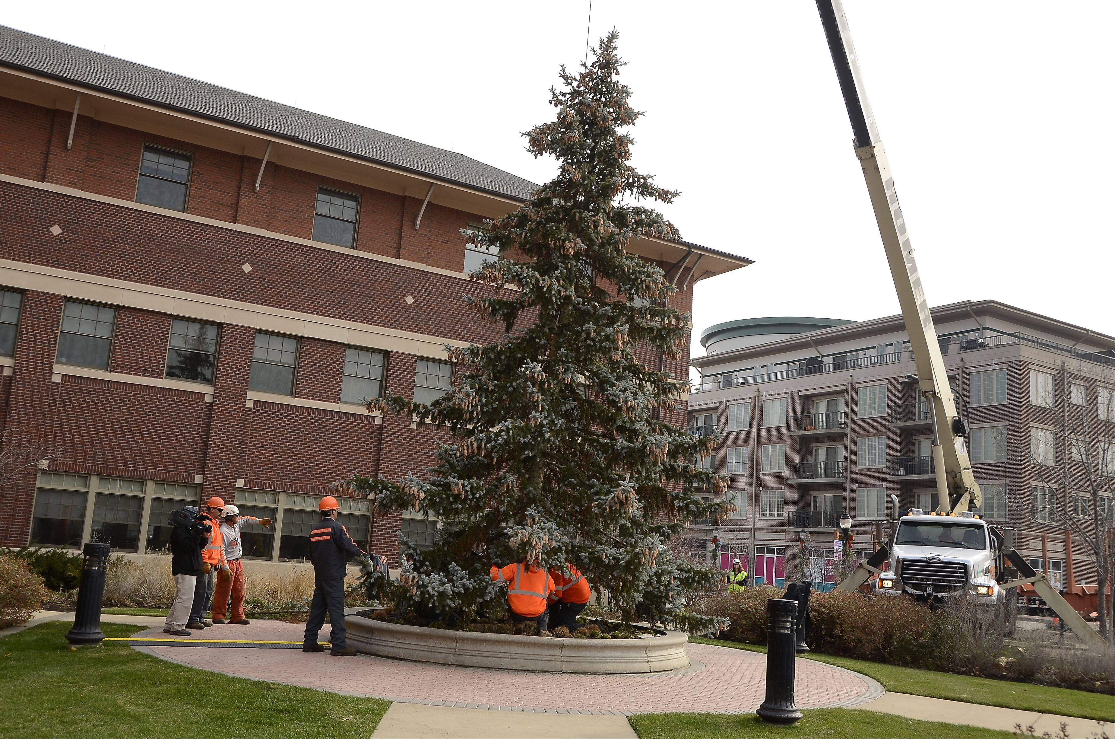 Workers install a Christmas tree Thursday morning at Mount Prospect Village Hall with the help of a crane from Homer Tree Care. the village will hold its tree-lighting ceremony at 5 p.m., Wednesday, Nov. 21.