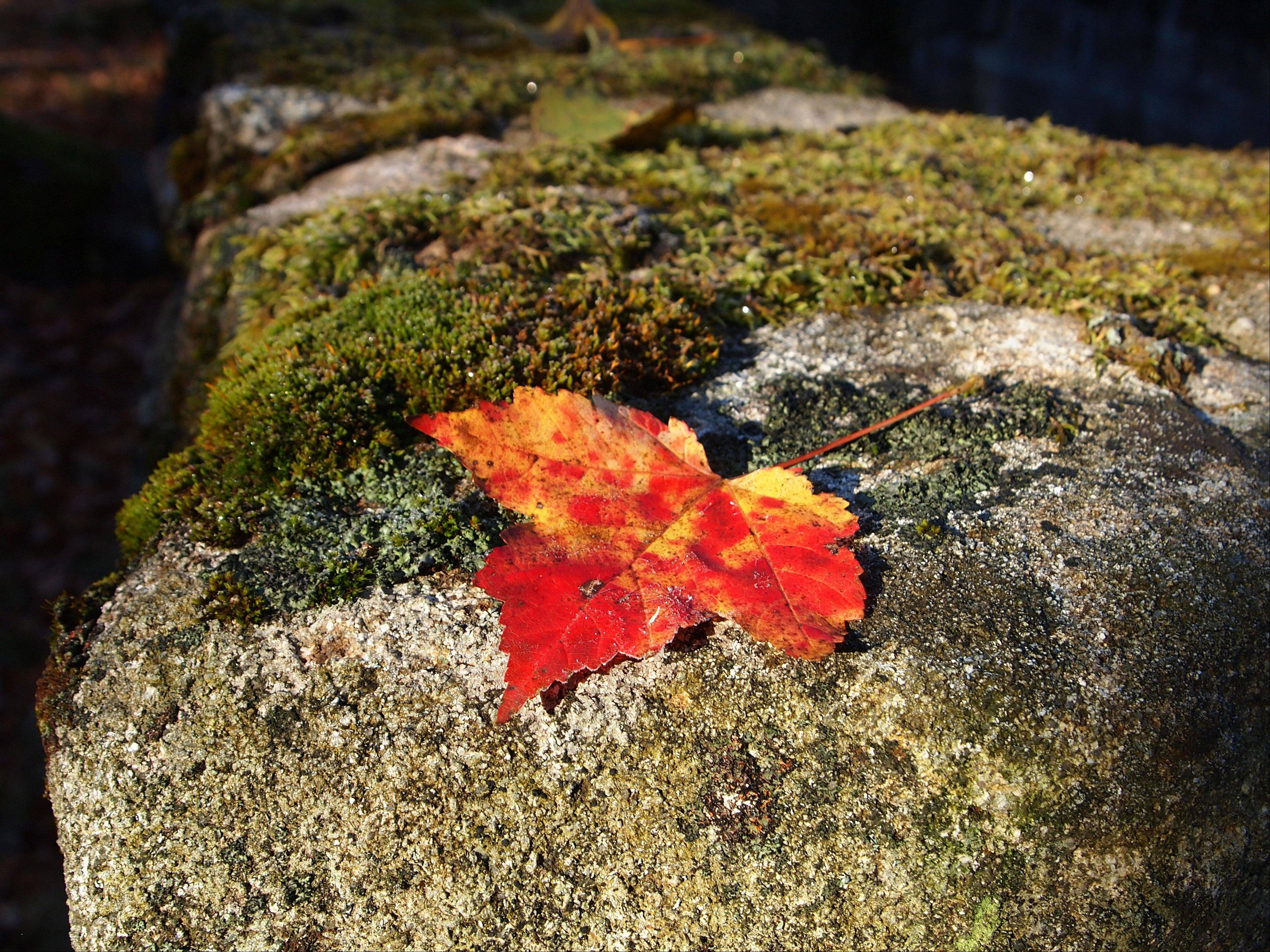 A scarlet leaf stands out on a moss and lichen covered stone on a bright fall day in Adirondack State Park, New York in October.
