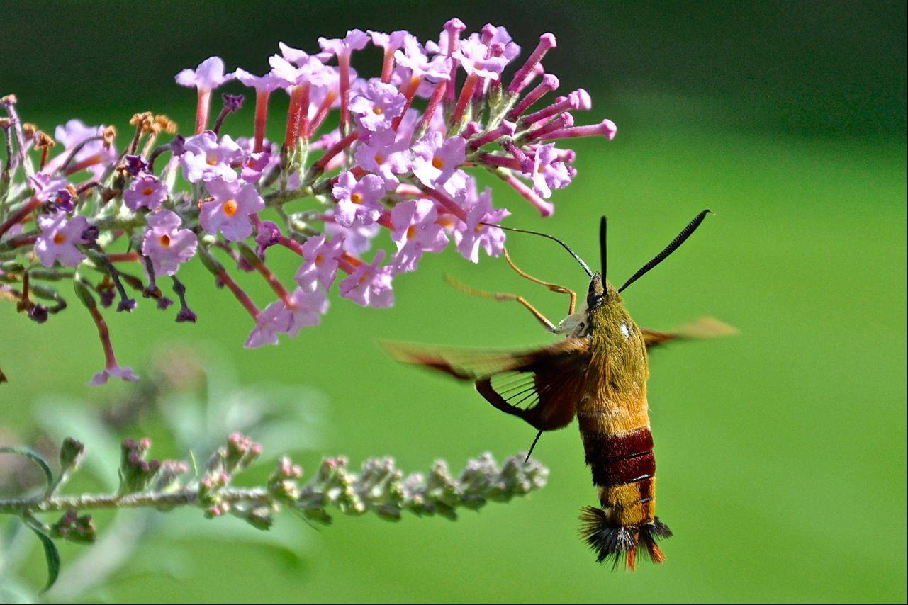 I planted a butterfly bush about 6 years ago to bring in the butterflies and 4 years ago the Hummingbird Moths started coming in as well. They are a little over an inch long and fly just like a hummingbird. This is a female as the males are black and yellow. I have hundreds of shots of them and this is one of my favorites. They are a challenge to shoot. That is what makes it so much fun.