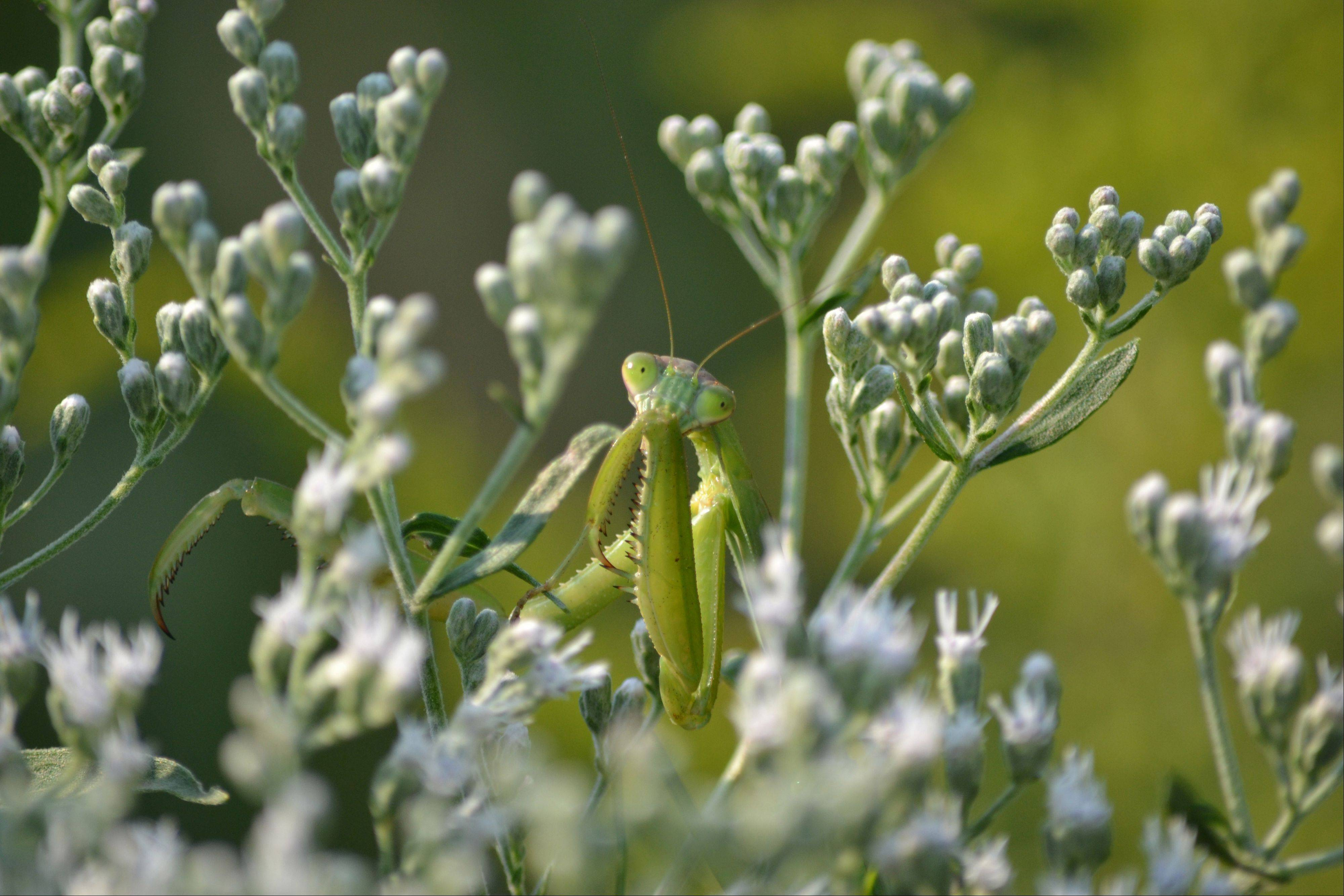 An up close look of a praying mantis in McDowell Grove Forest Preserve in Naperville on September of 2011.