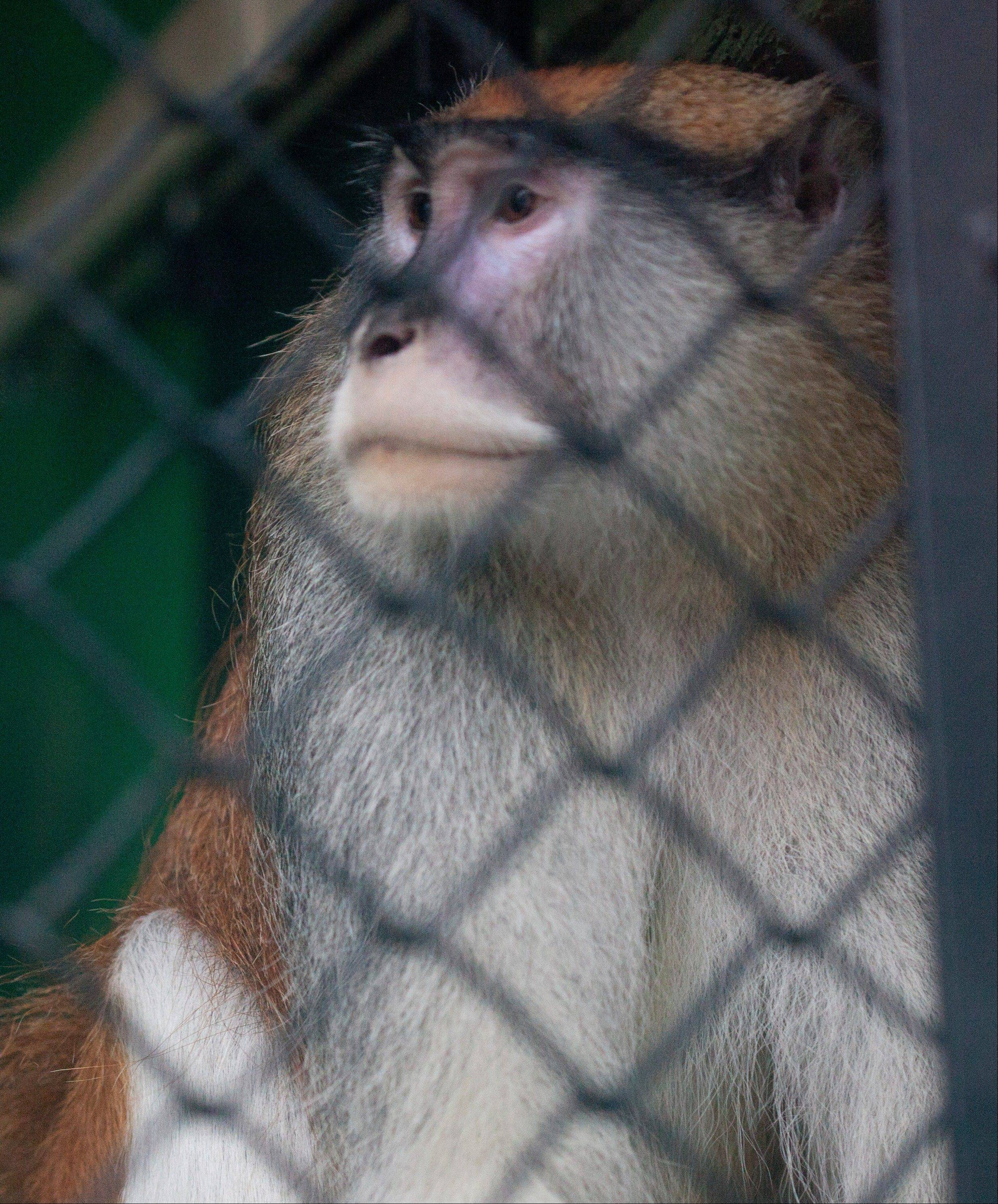 A Patas monkey looks out of his cage at Zoo Boise Saturday after his cage mate was severely injured and died in Boise, Idaho. The injured monkey was found shortly after suspects were spotted and ran off.