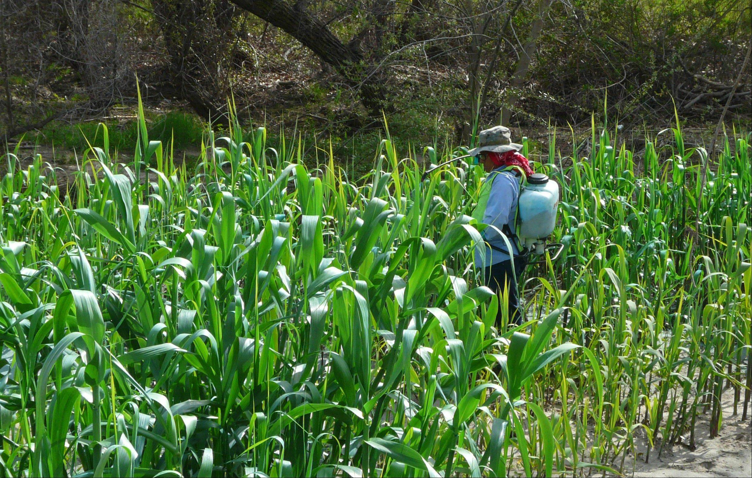 A worker from the San Diego River Conservancy sprays previously mowed, re-sprouting Arundo donax in Santee, Calif.