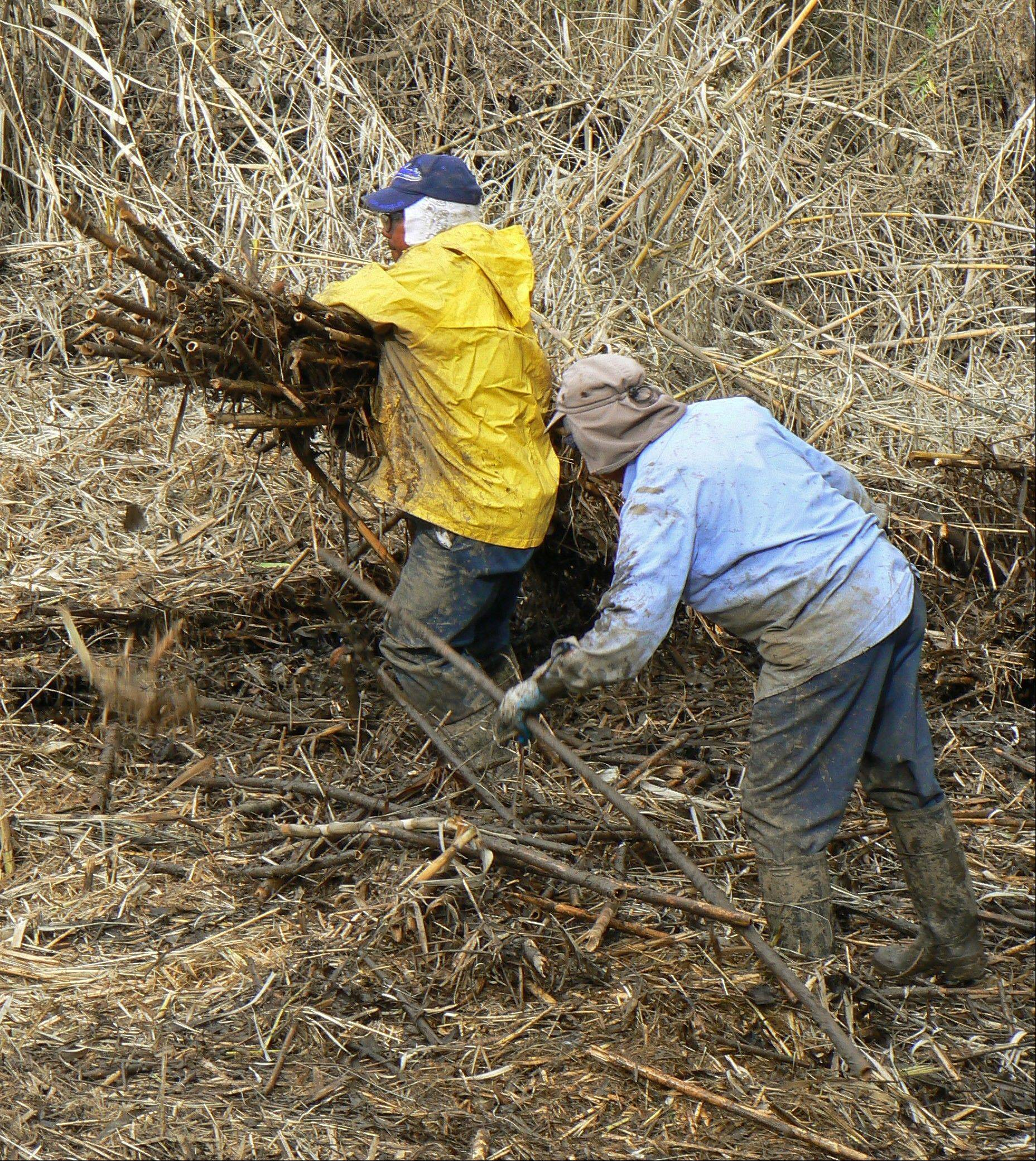 Crews cut and haul Arundo donax to higher areas where mowers can grind it in Bonsall, Calif. California has spent more than $70 million trying to eradicate the invasive, self-propagating perennial.