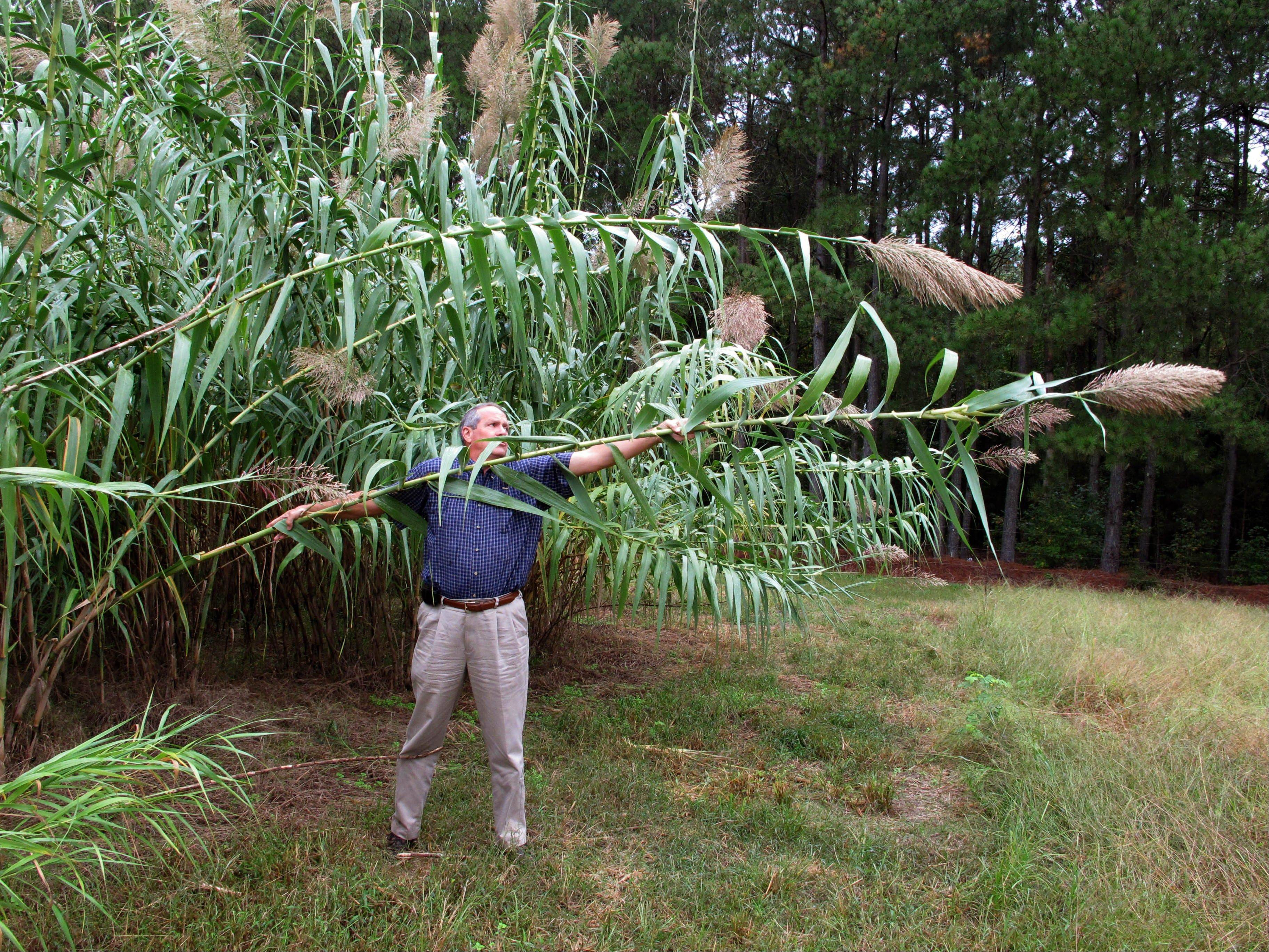 Farming director Sam Brake bends a stalk of Arundo donax toward the ground in a test plot behind the Biofuels Center of North Carolina.