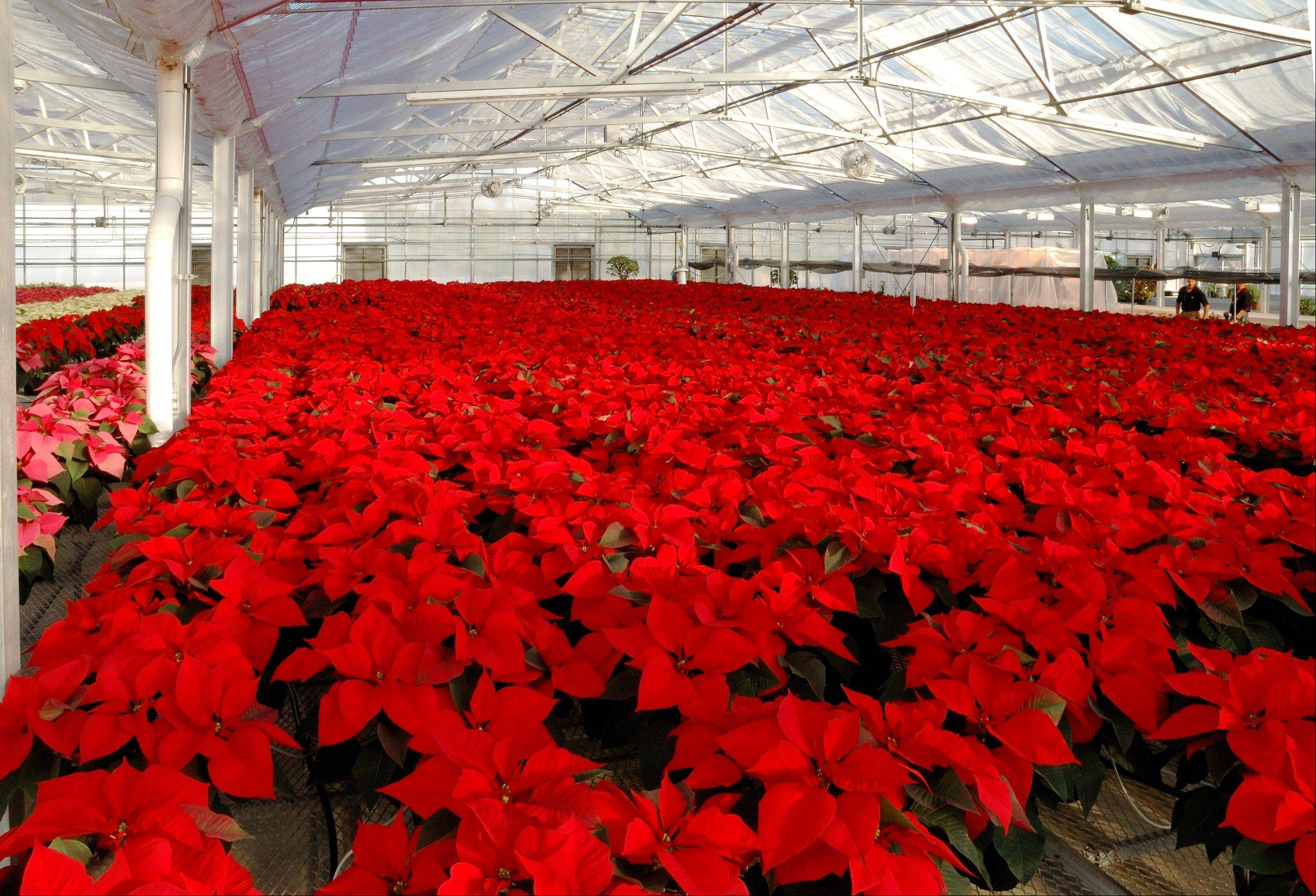 Visitors can view nearly 3,000 poinsettias and other plants Nov. 27 when Cantigny Park opens its greenhouses for the annual Shades of Crimson display.