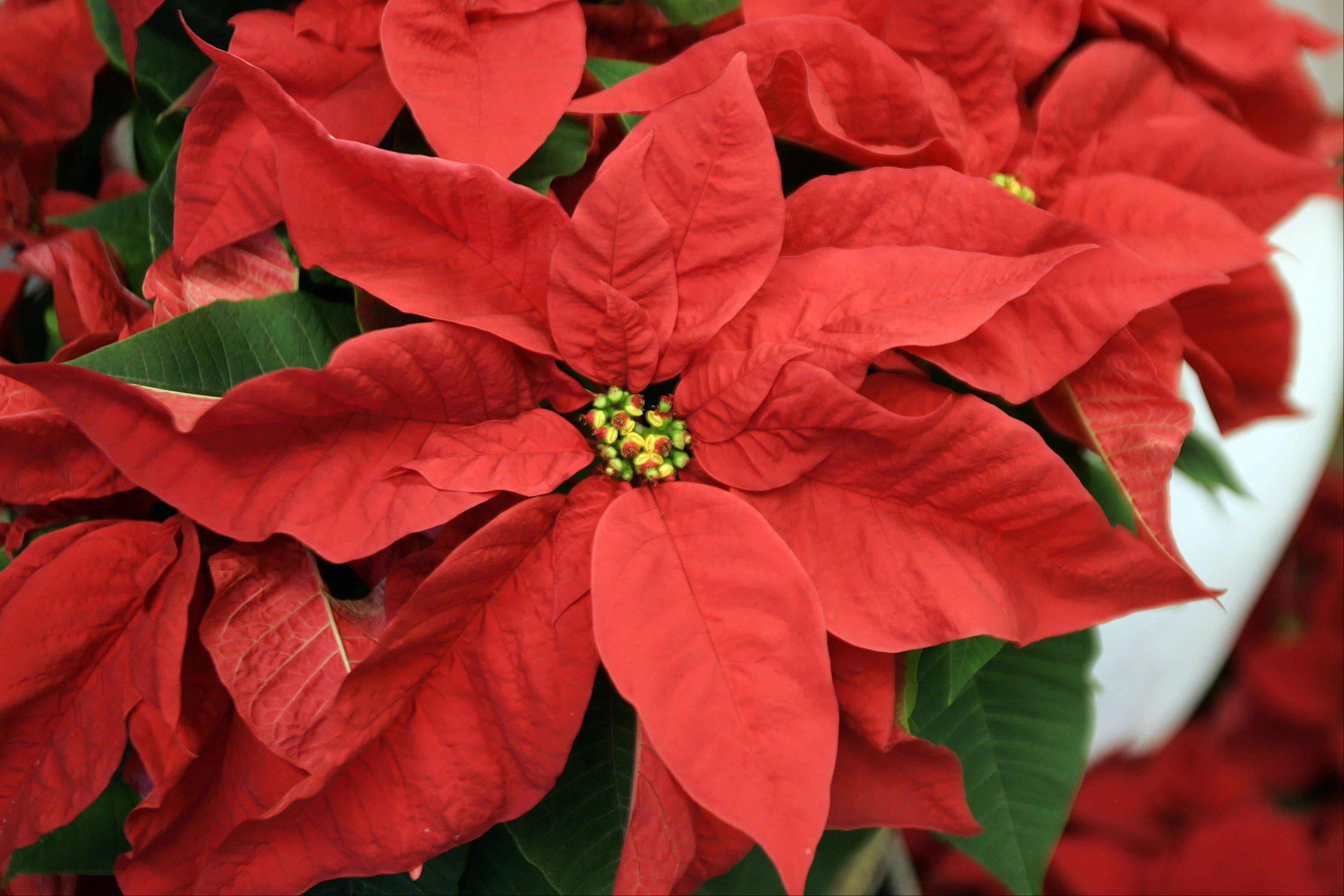 Cantigny's greenhouses feature 14 varieties of poinsettias.