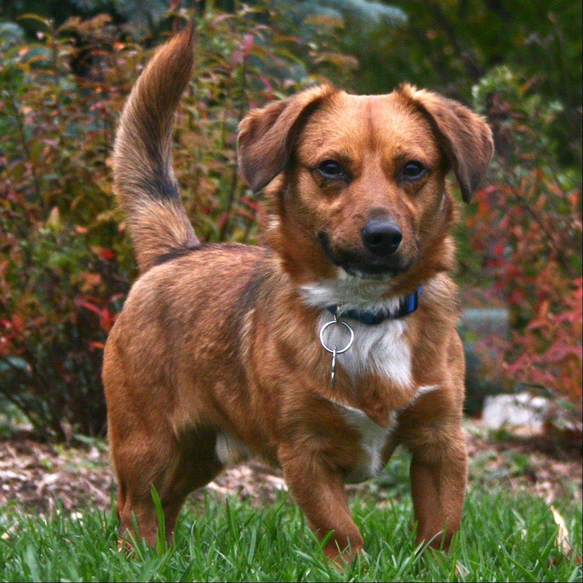 Howie, a male Dachshund, is about one year old and weighs around 11 pounds.