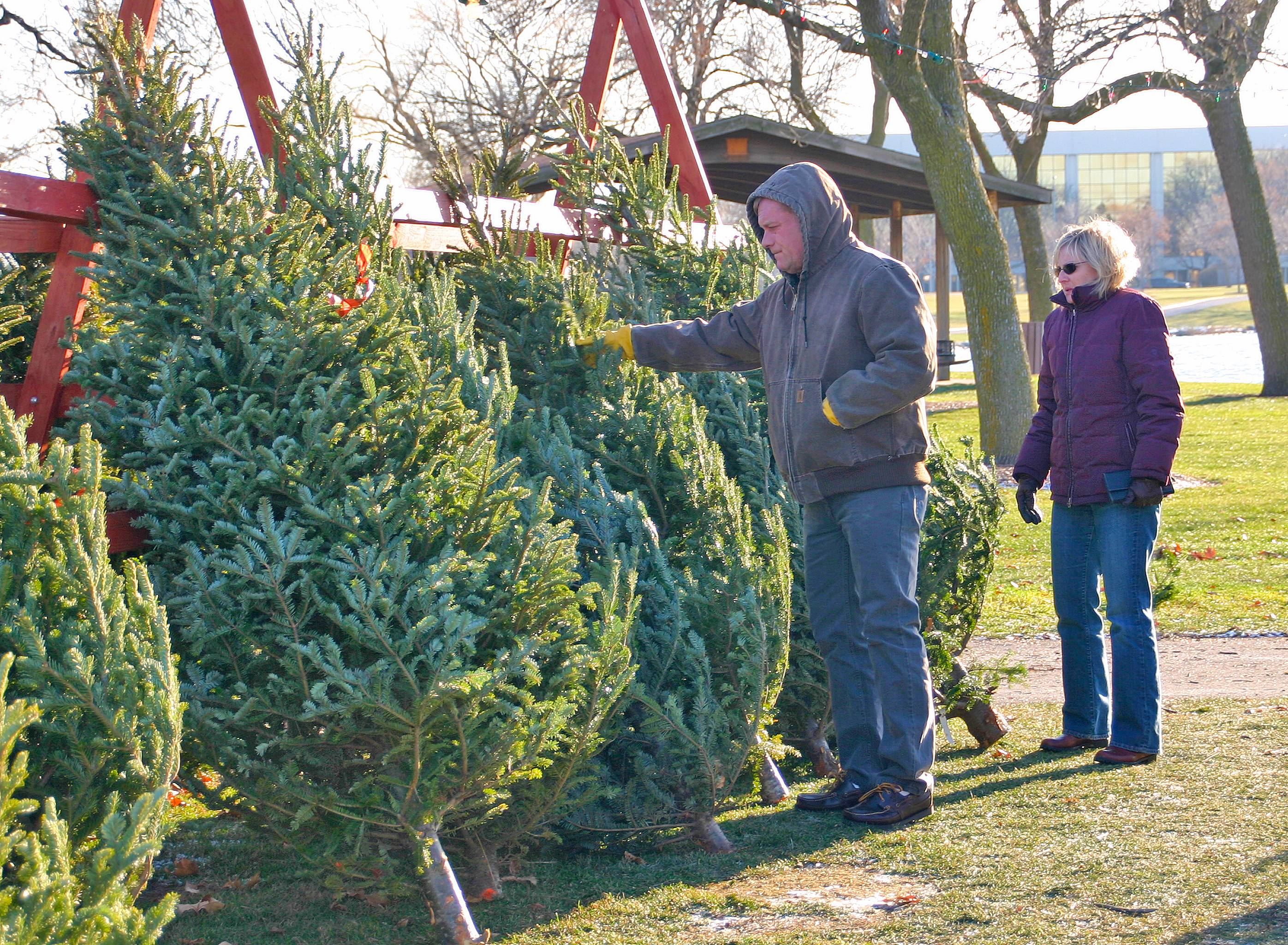 A couple browses the 2011 Optimist Holiday Tree Lot that features Balsam Firs, Scotch Pines, and Frasier Firs, seen here.