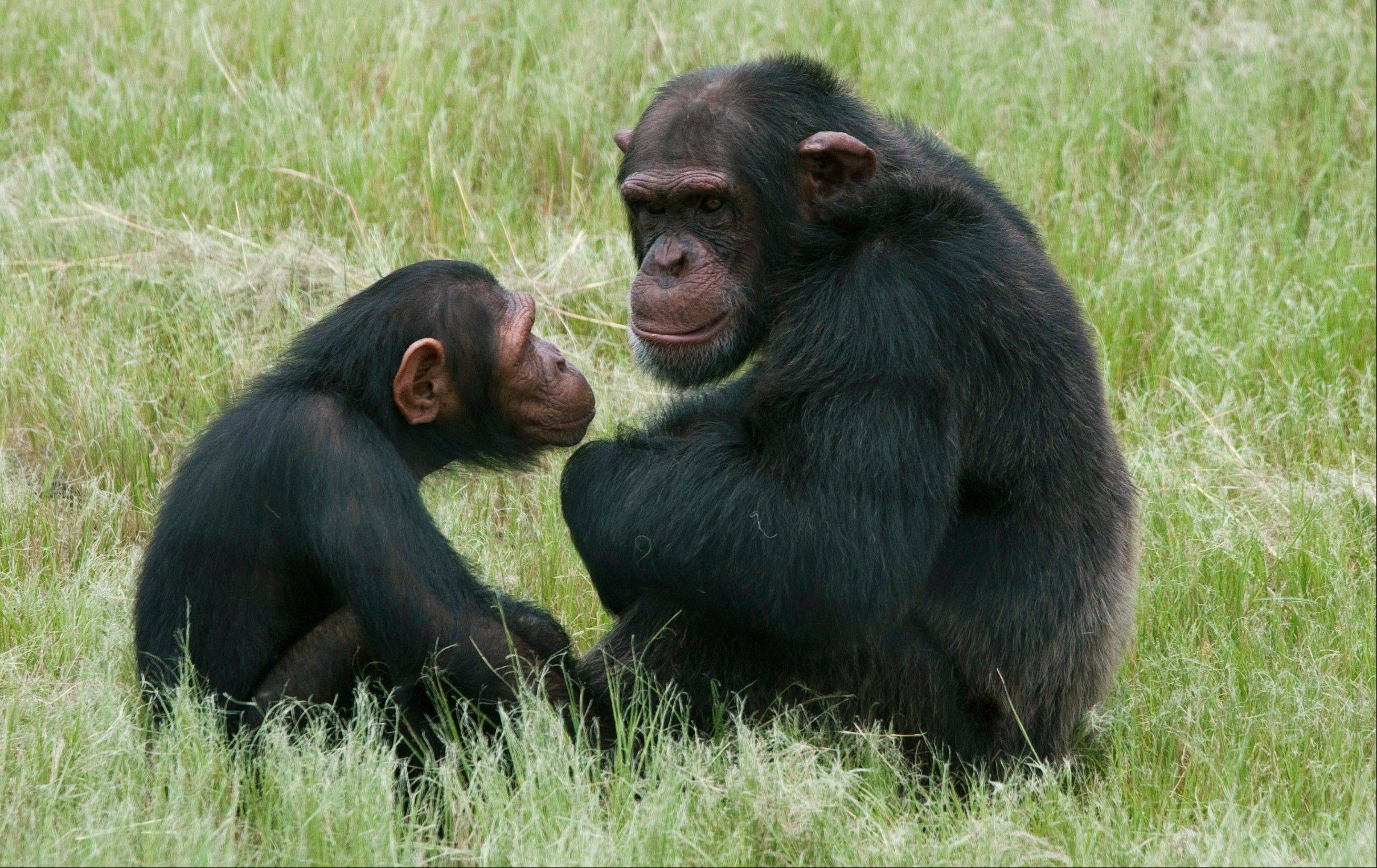 Chimpanzees sit in an enclosure at the Chimpanzee Eden rehabilitation center, near Nelspruit, South Africa.