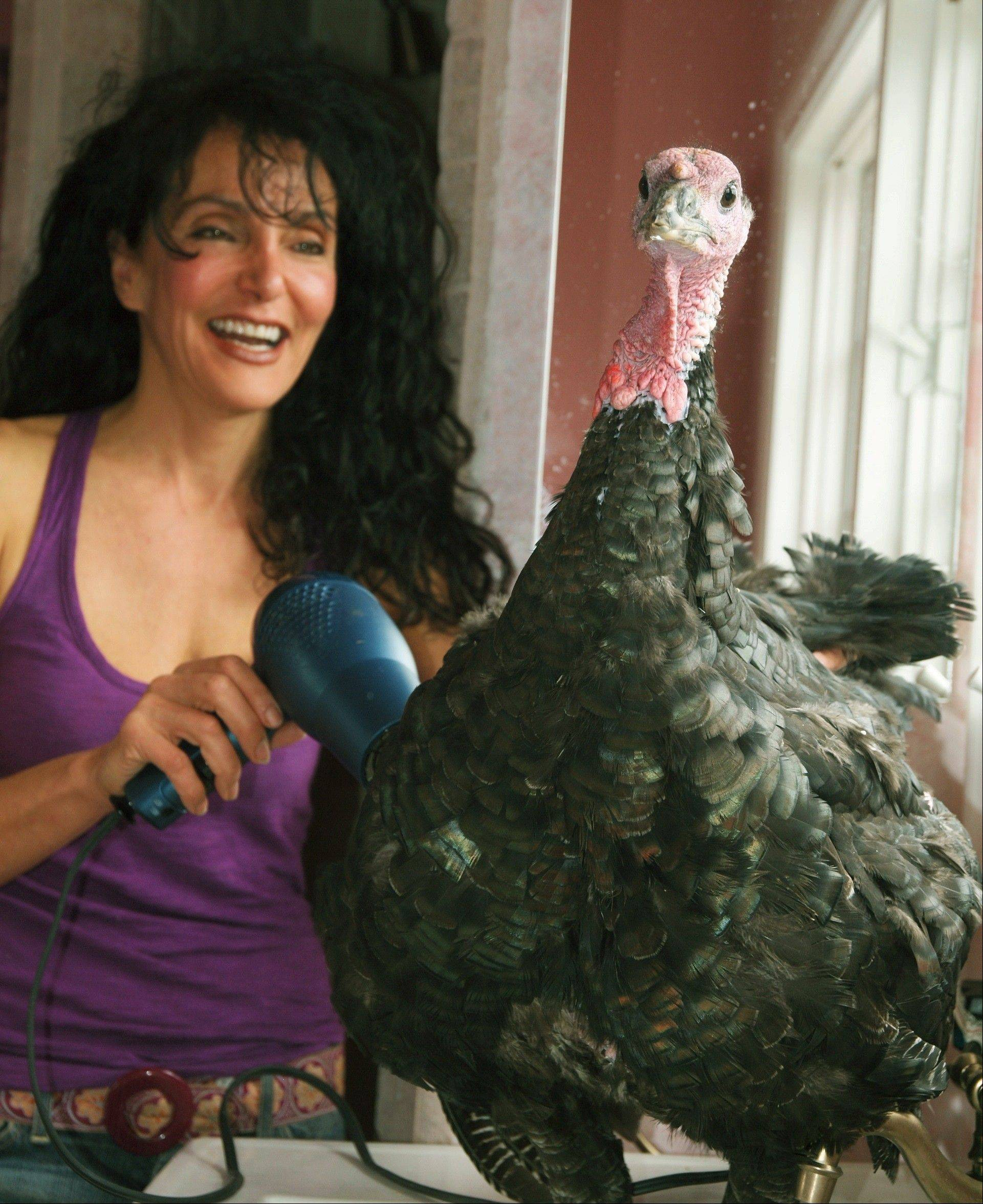 Karen Dawn and her pet turkey, Russell. He�s getting his feathers blown dry at home in Pacific Palisades, Calif.