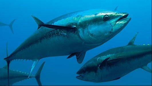 The international organization of fishing countries has decided to follow the scientific recommendations and maintain strict quotas on the fishing of endangered Atlantic bluefin tuna.