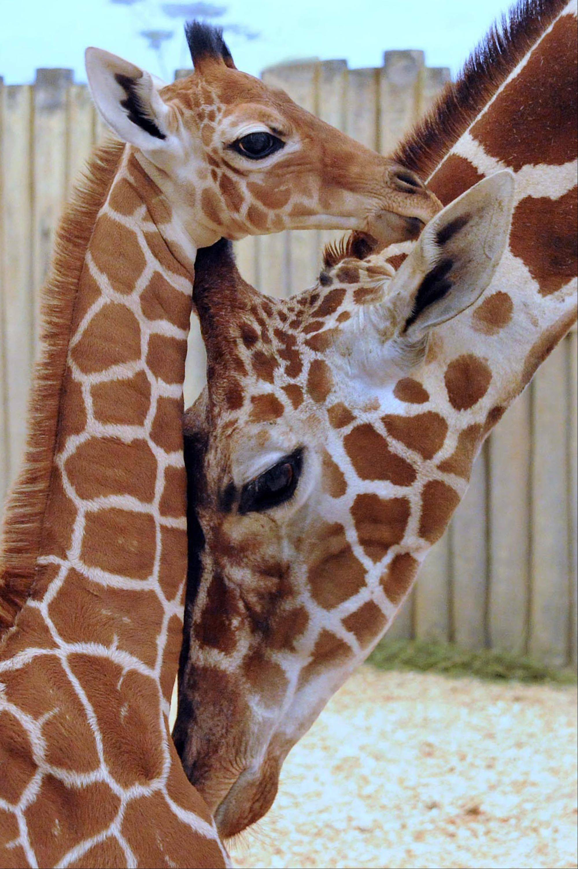 A male giraffe calf born at Brookfield Zoo on Nov. 12, 2012 with his mom, Arnieta. This calf is the 58th giraffe born at Brookfield Zoo. His birth marks three generations of giraffes at Brookfield Zoo, and he can can be seen indoors in the zoo�s Habitat Africa! The Savannah exhibit.