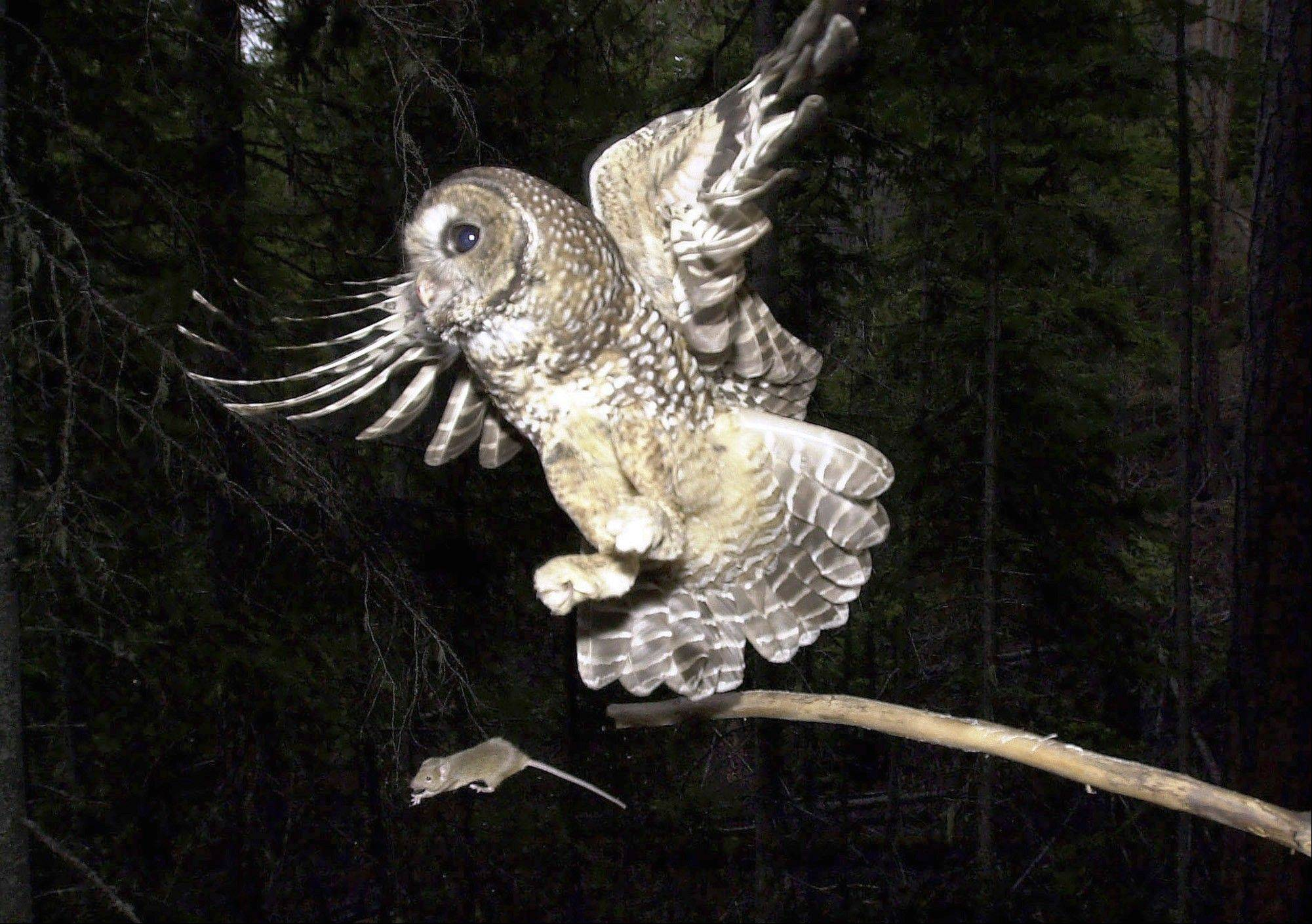 A northern spotted owl flies after an elusive mouse jumping off the end of a stick in the Deschutes National Forest near Camp Sherman, Ore.