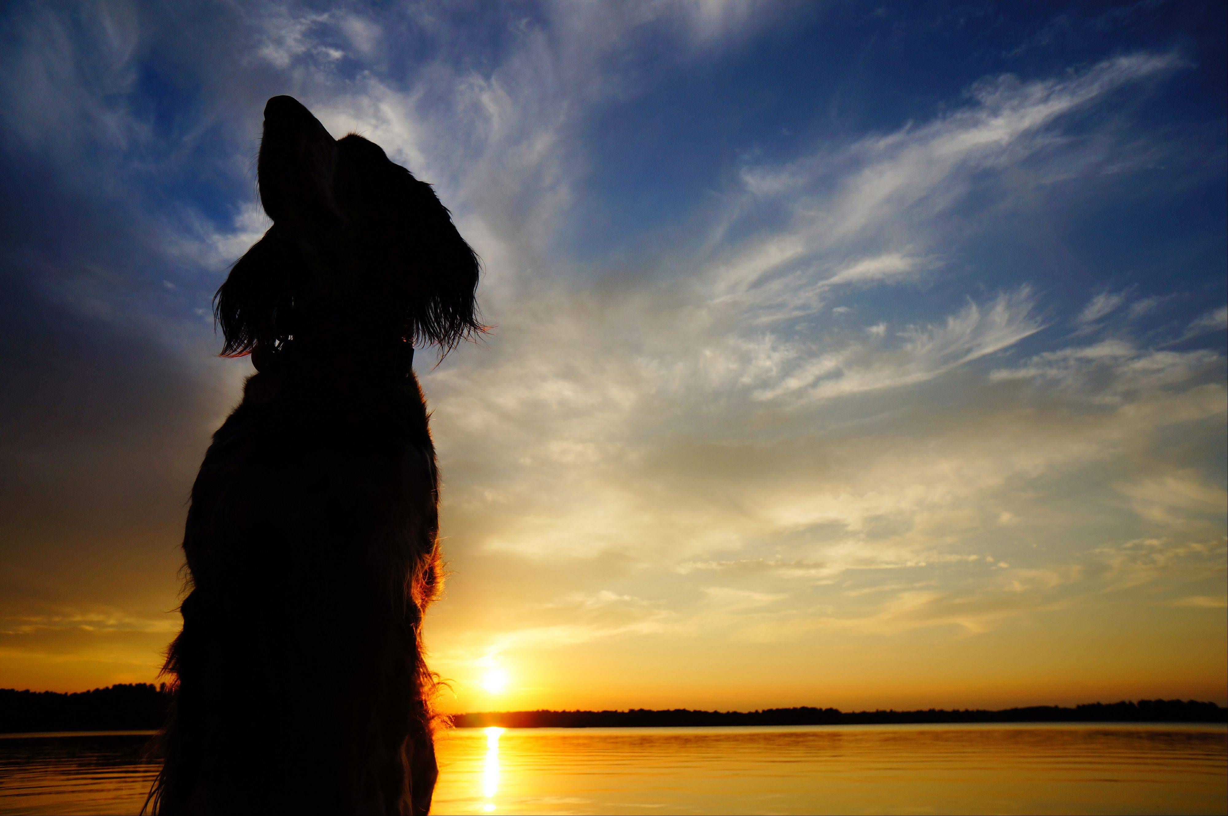 Fancy, an English Setter, sits on the end of the pier in Conover, Wisconsin with the sun setting in the background.