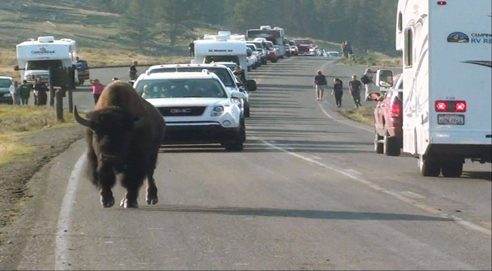A buffalo blocks up traffic in Yellowstone on August 15th. Bison cross the road, but this guy owns the road, and he knows it.