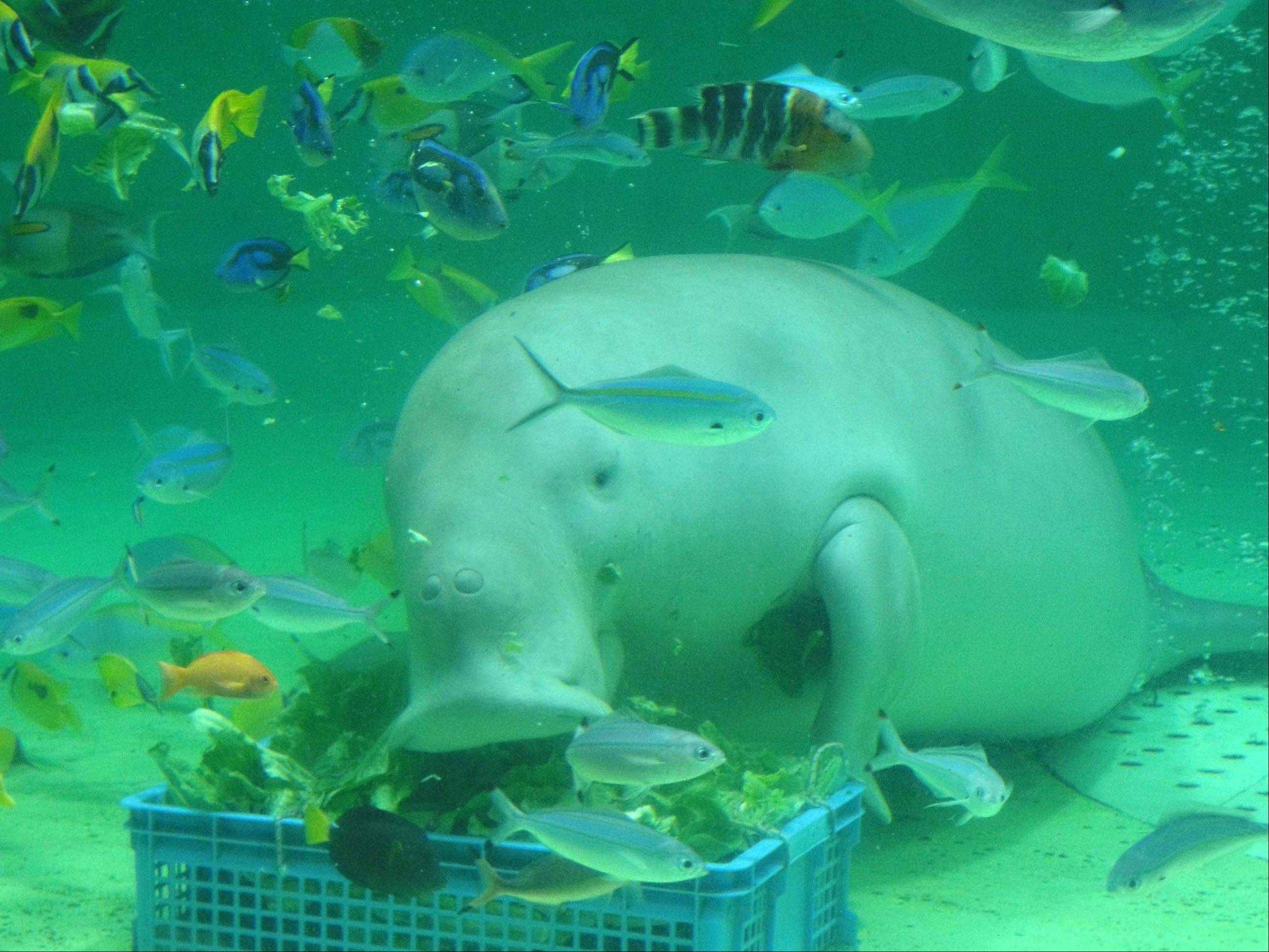 Serena, a dugong at the Toba Aquarium in Toba, Japan, is a popular sight.