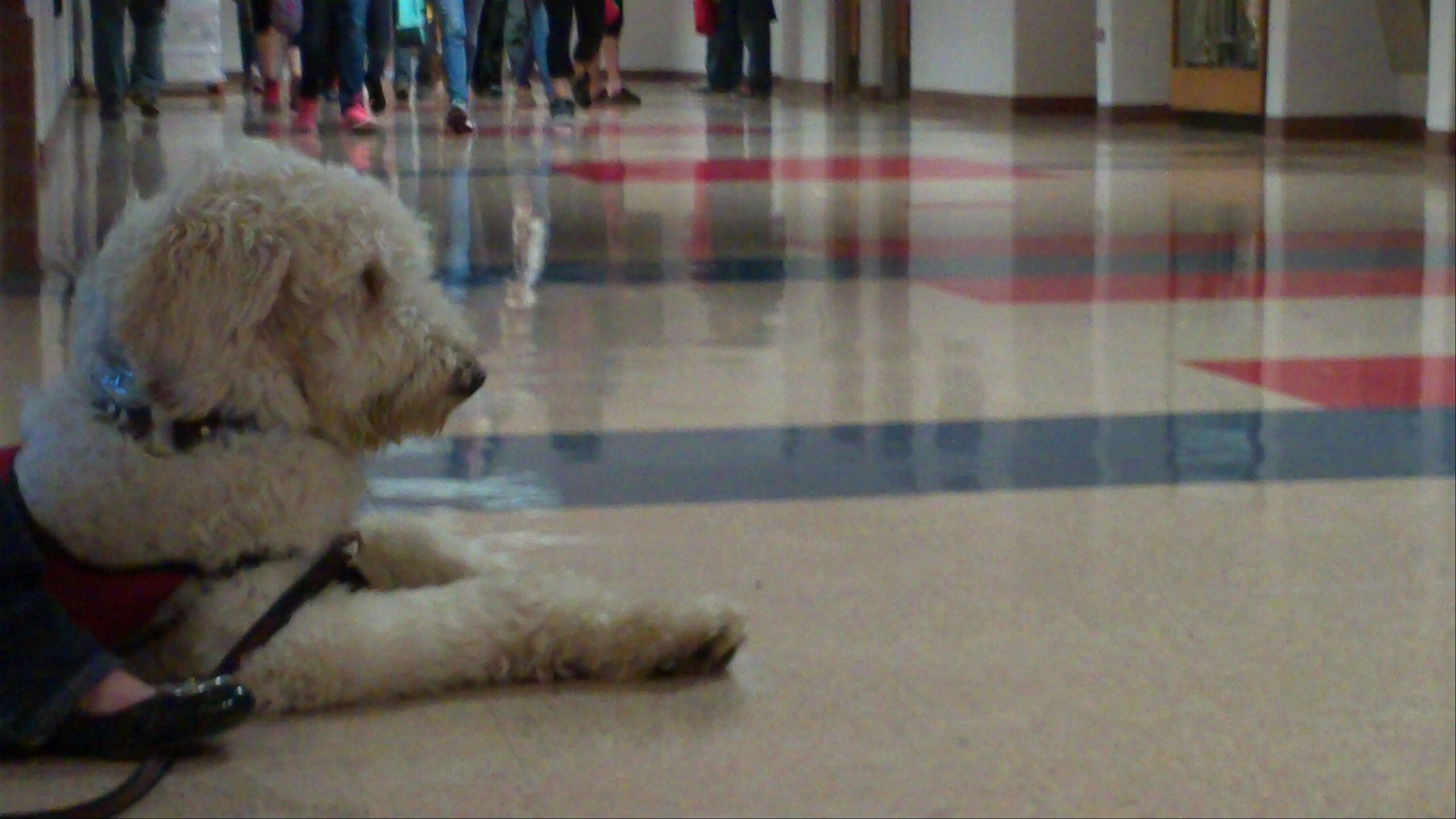 Service dog Puzzle experienced a busy school day at South Middle School, part of his training by Arlington Heights resident Debbie Kubitz. Puzzle soon will move to Ohio to live with an 8-year-old Ohio boy who suffers from numerous health problems.