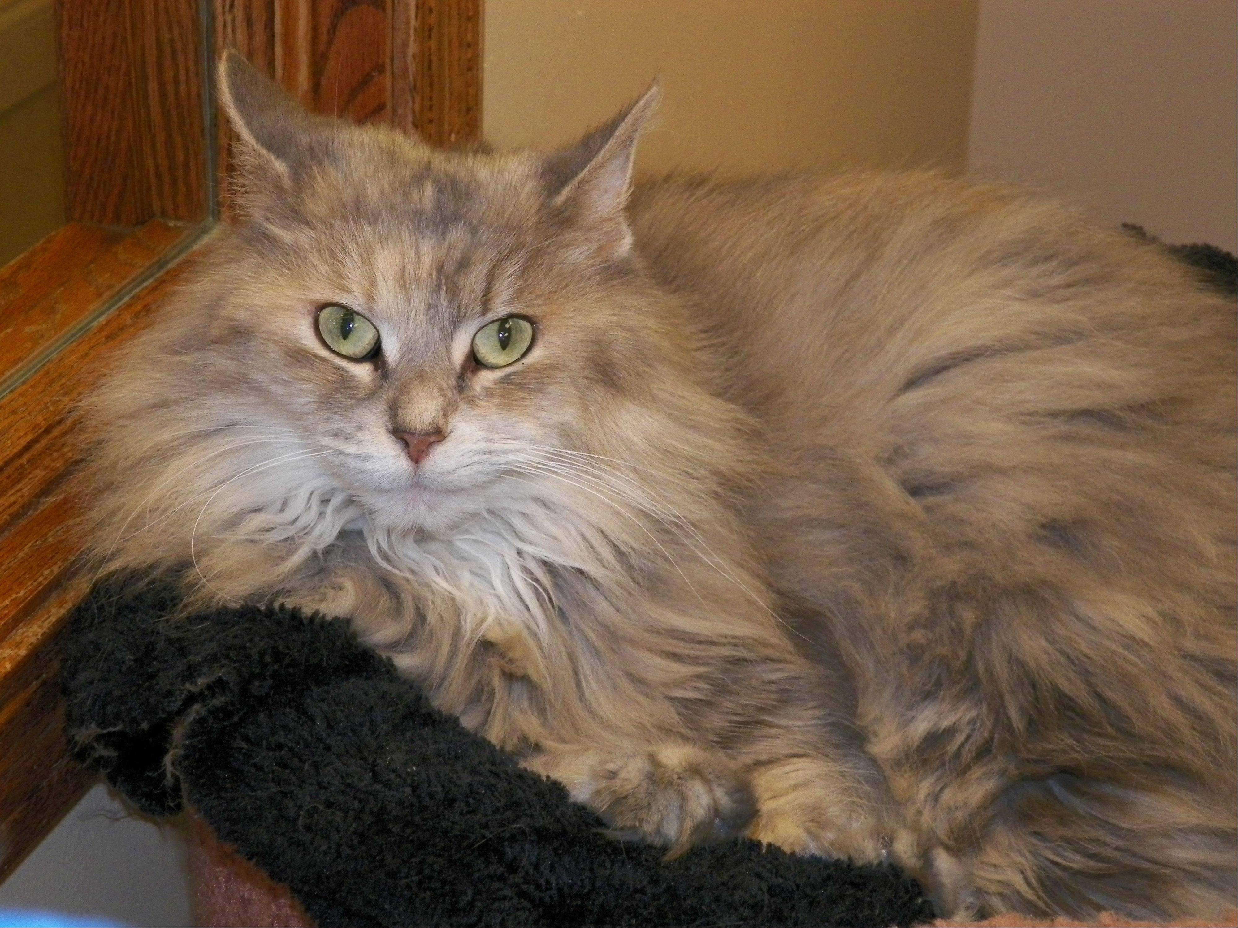 Princess, a 4-year-old lap cat, is looking for a forever home.