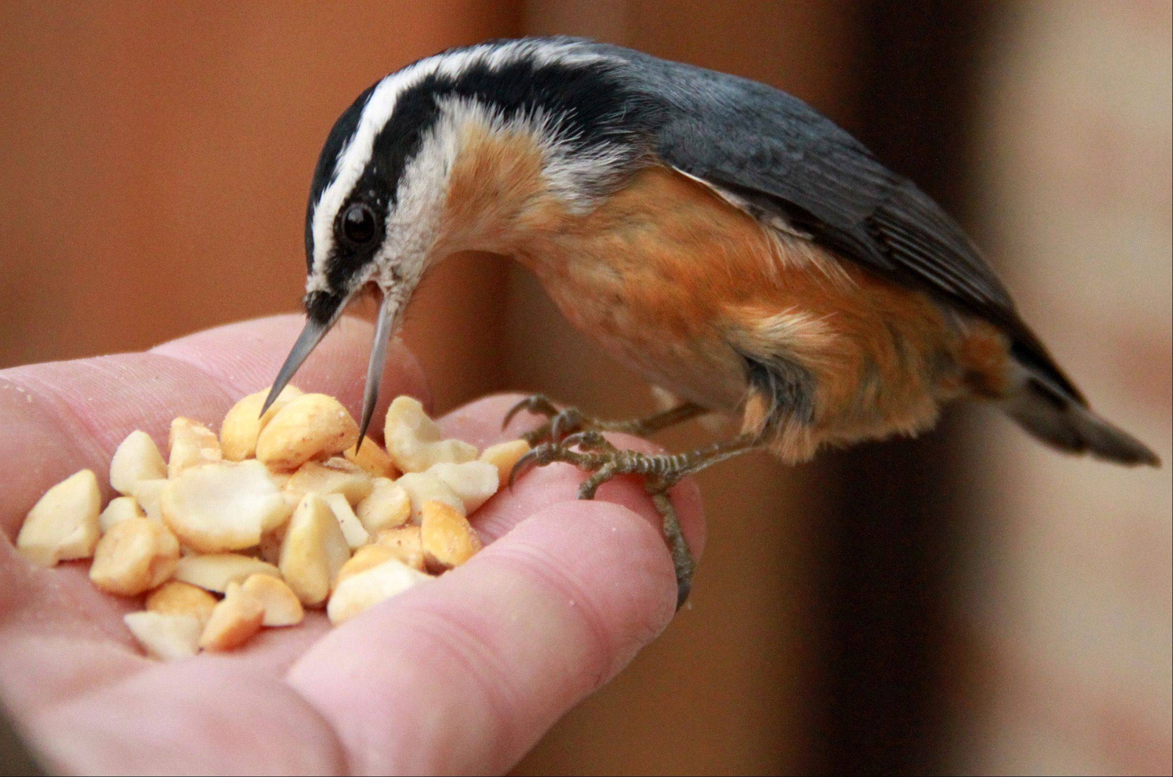 Daily Herald photographer George LeClaire entices a Red-Breasted Nuthatch to land on his hand using peanuts in Glenview. Many Illinois residents have posted on Illinois Audubon Society Facebook page that they have spotted large numbers of the bird for the first time since 2007 and 1989 migrations.