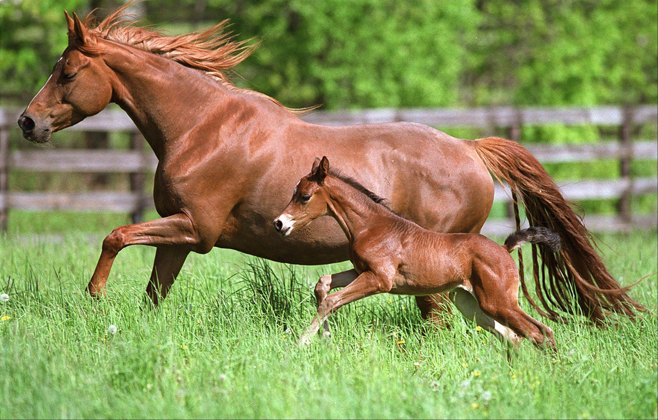 Laura Stoecker/lstoecker@dailyherald.com, 2003Nadja and her foal run through a grassy pasture at Rolling Oaks Farm in Elgin. Foal born in May.