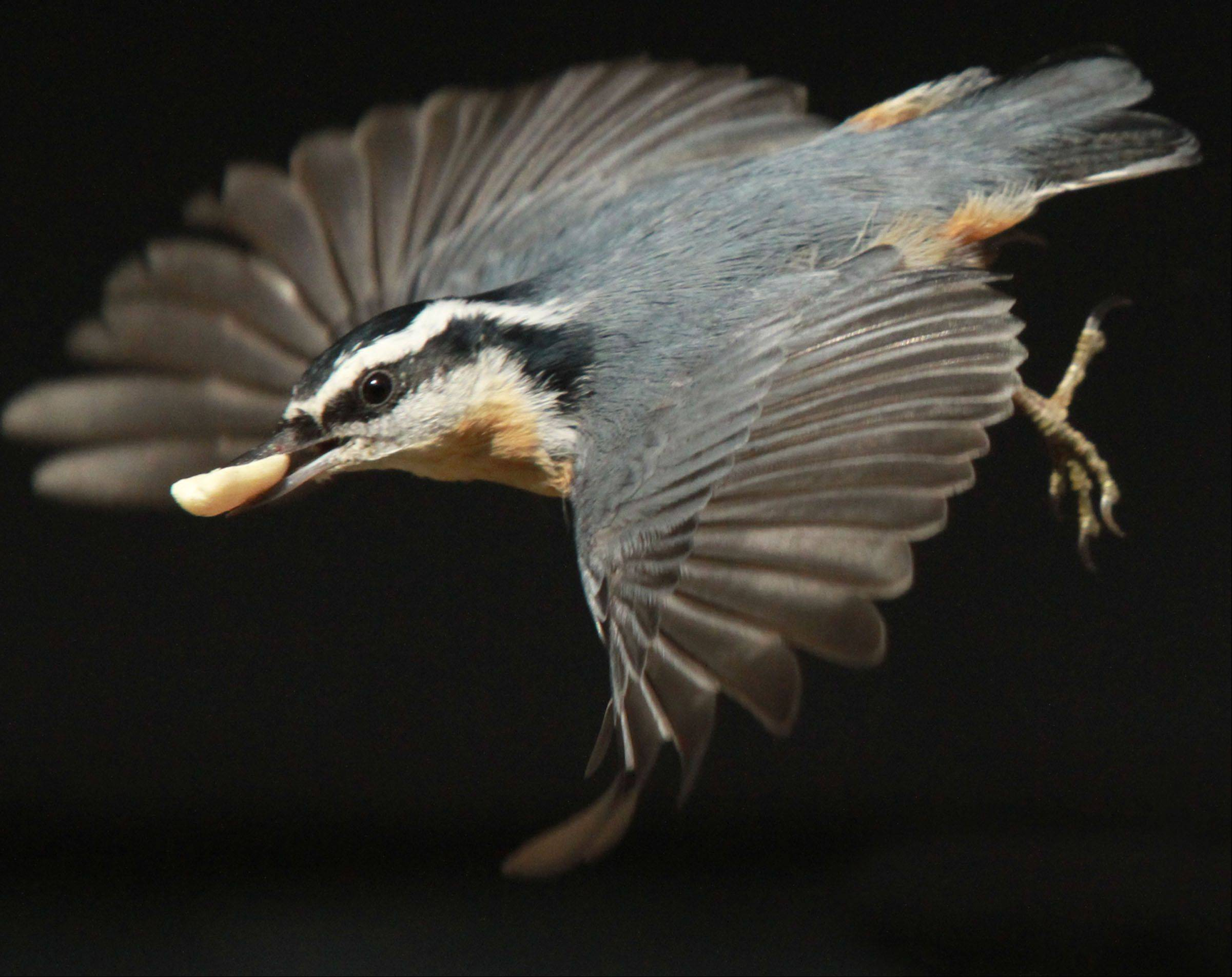 A male red-breasted nuthatch with a wingspan of seven inches dives off a feeder in Glenview on Nov. 11 with a peanut, his favorite food, in his beak. The four-inch-long bird hides the peanuts in a nearby tree's bark and comes back for more for hours at a time.