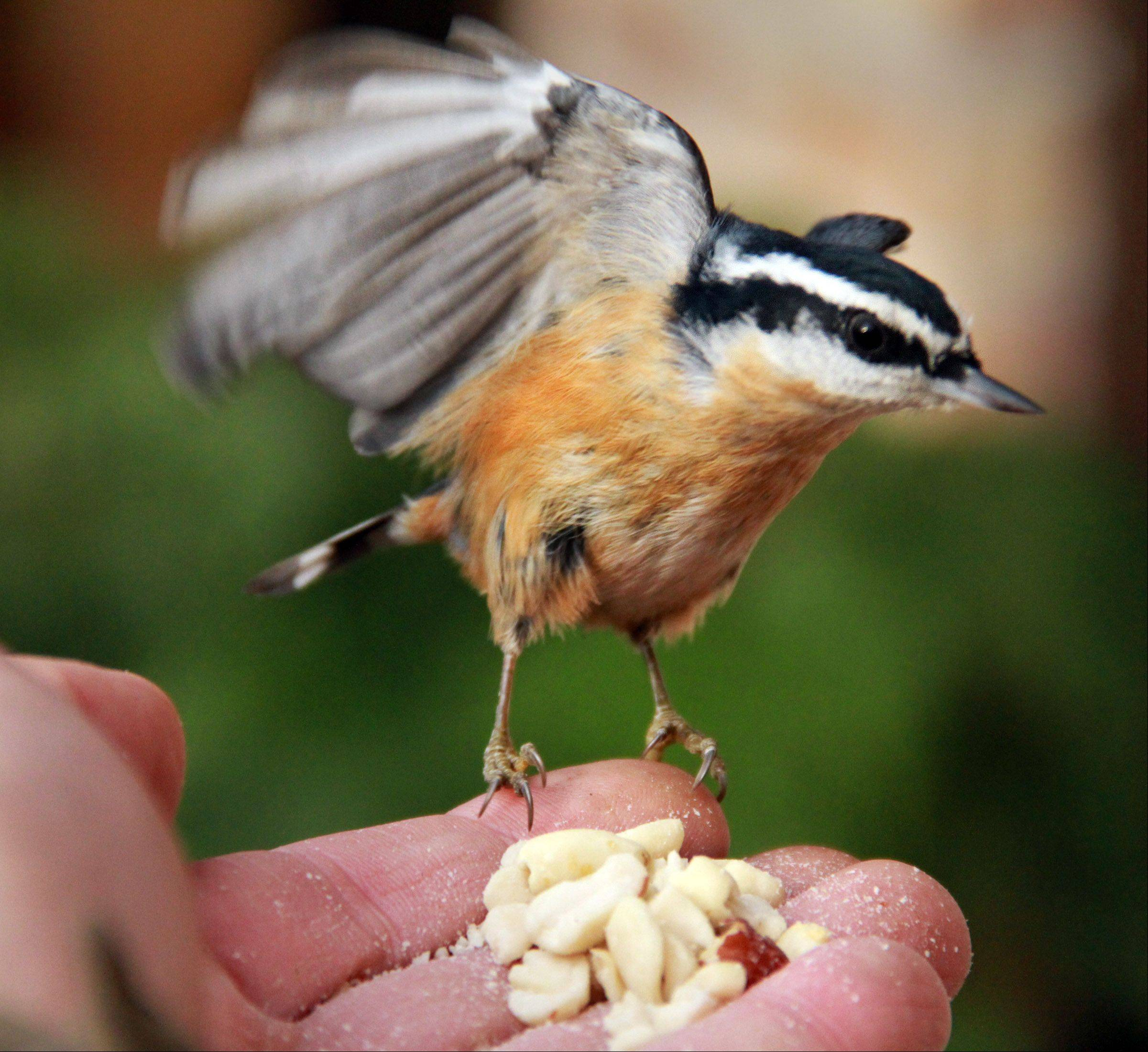 A male and female red-breasted nuthatch landed on Daily Herald photographer George LeClaire's hand more than 50 times in a 3-hour period to grab peanuts as he took photographs and shot a video of the half-ounce bird in Glenview on Nov. 15.